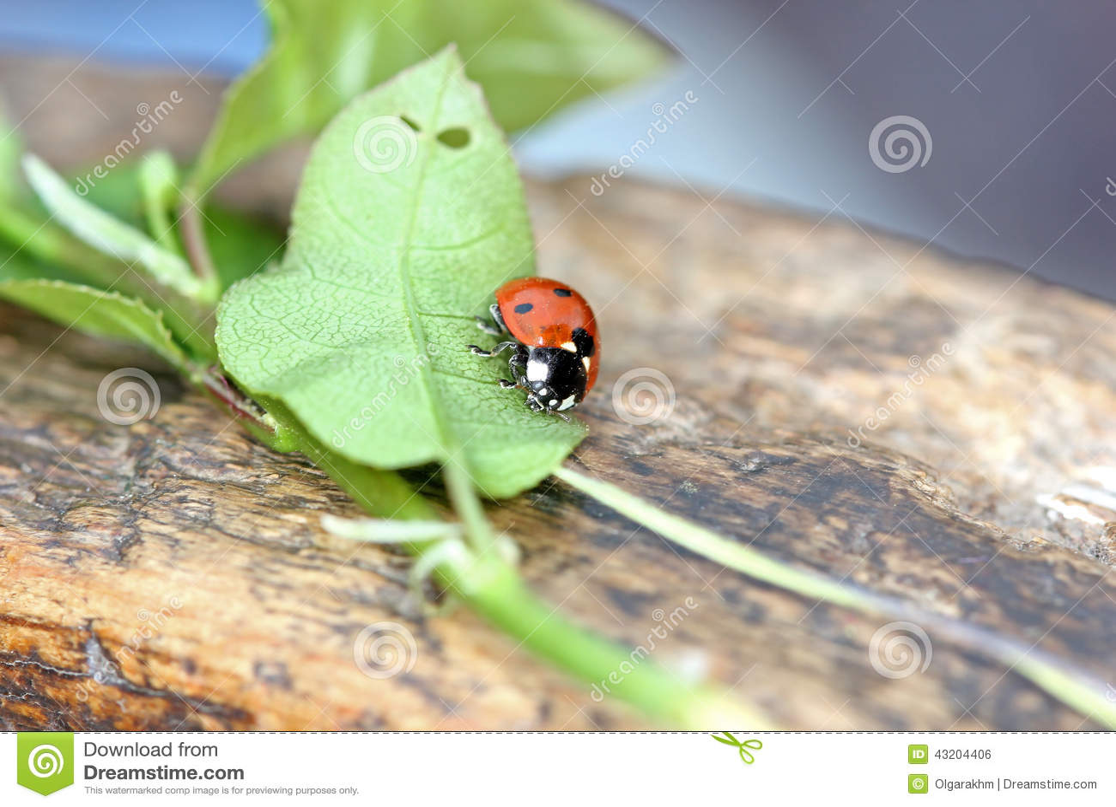 Download Nyckelpiga arkivfoto. Bild av angus, natur, rött, nyckelpiga - 43204406