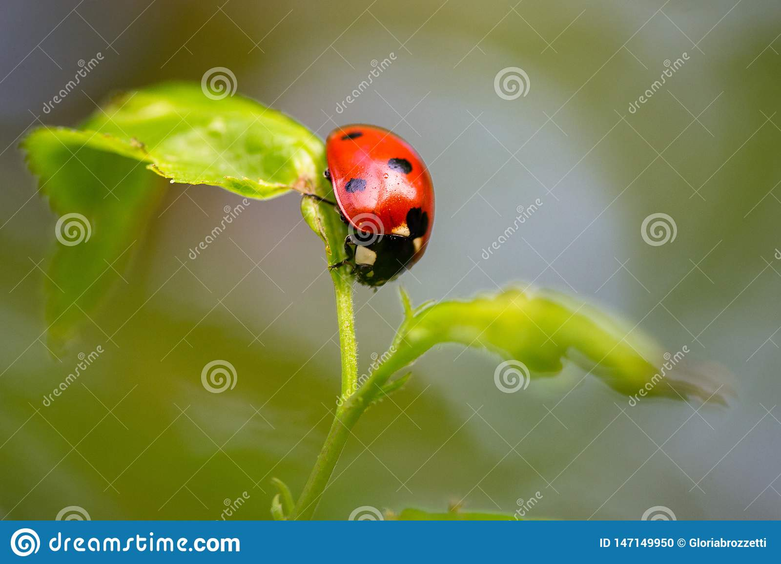 Nyckelpiga i jämvikt på en liten växt