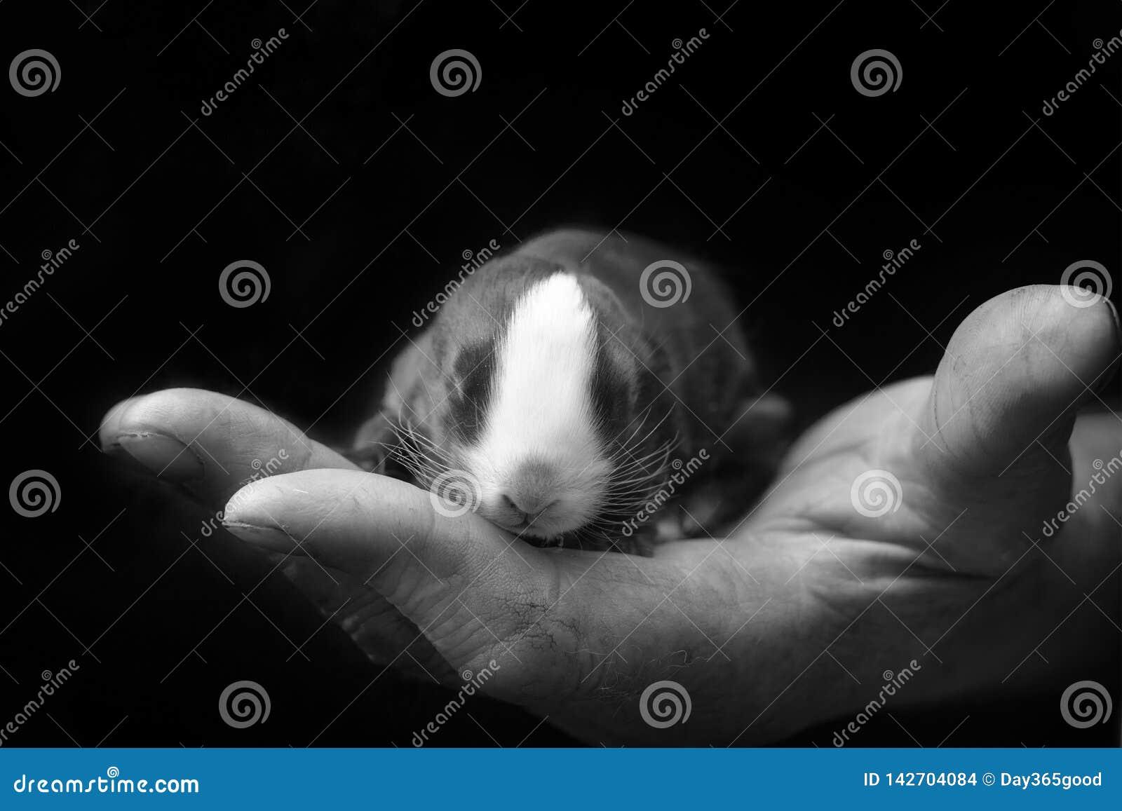 Nyfödd kanin i ägarens hand Att bry sig för husdjur förälskelse till djuren