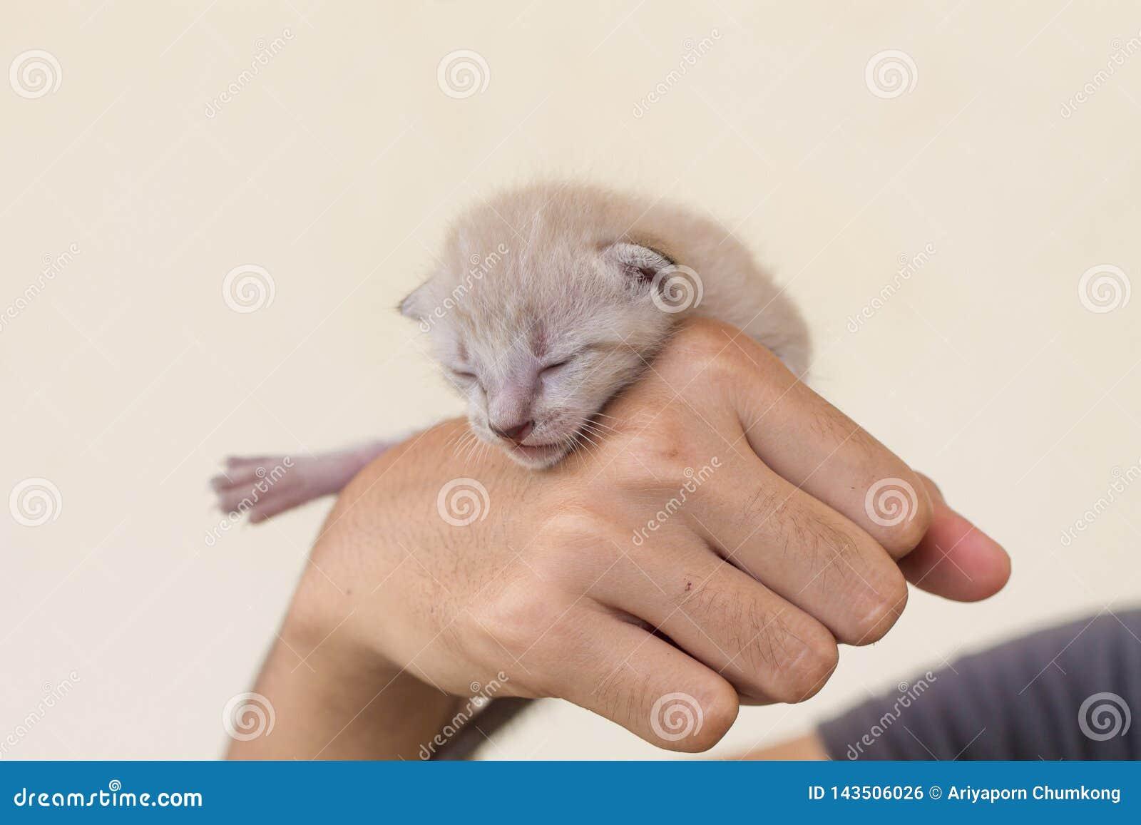 Nyfödd kattunge i händer