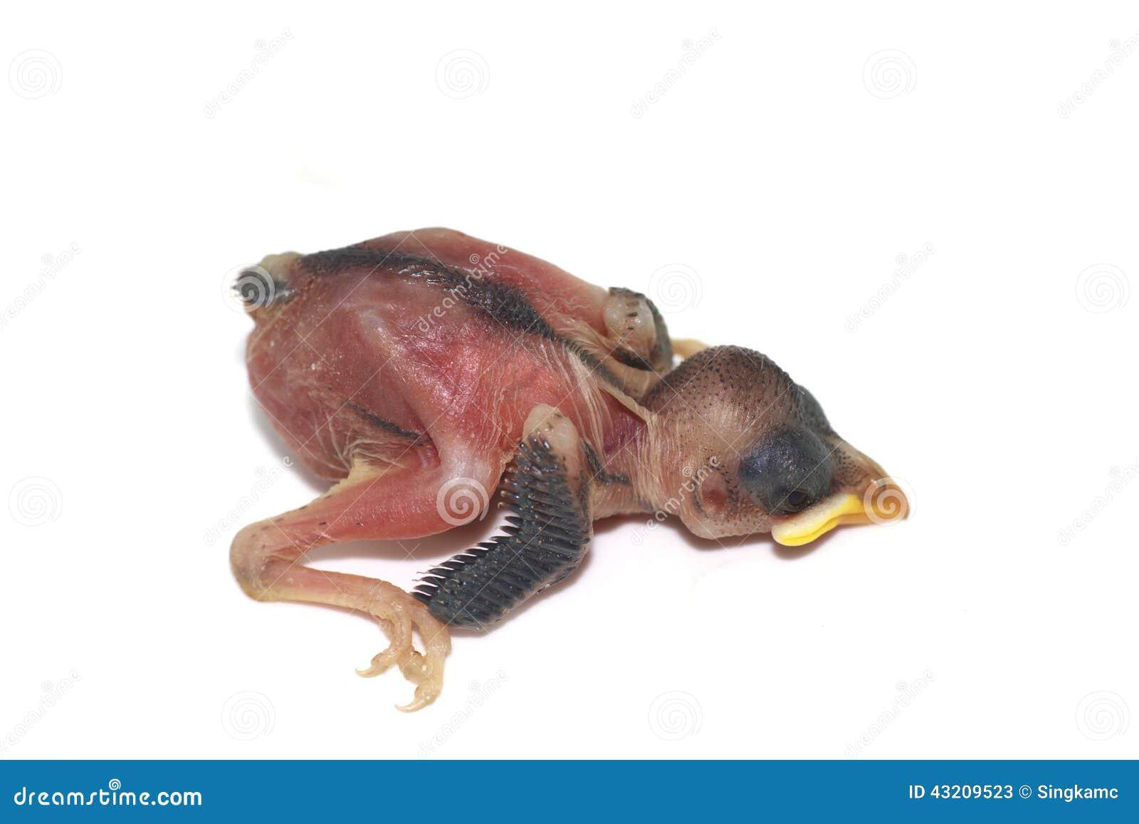 Download Nyfödda Fågelungar Försöker Att Hjälpa Sig Fotografering för Bildbyråer - Bild av naturligt, natur: 43209523