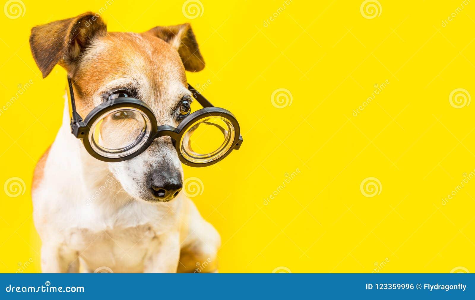 Nyfiken allvarlig gullig hundstålarrussell terrier i exponeringsglas på gul bakgrund Isolerat på vit bakgrund tillbaka skola till
