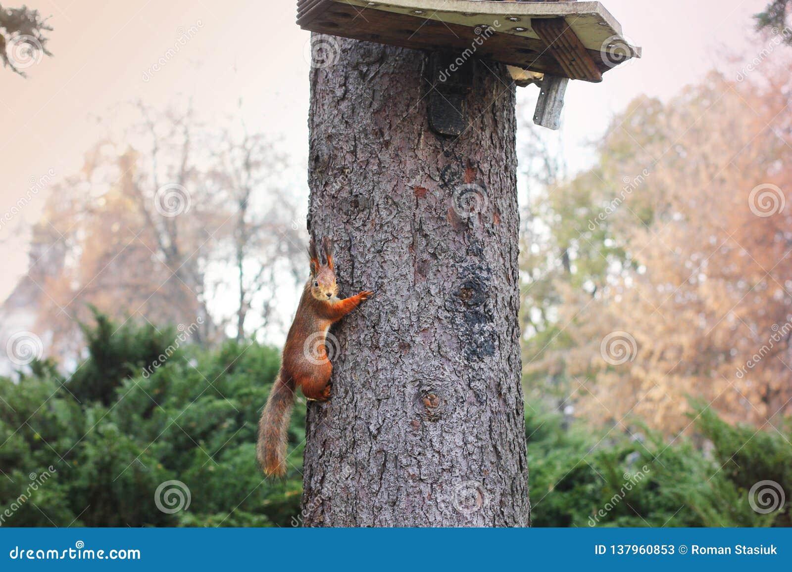 Nyfiken ekorre röd ekorre ekorre Höst Vinter Forest Beautiful ekorre