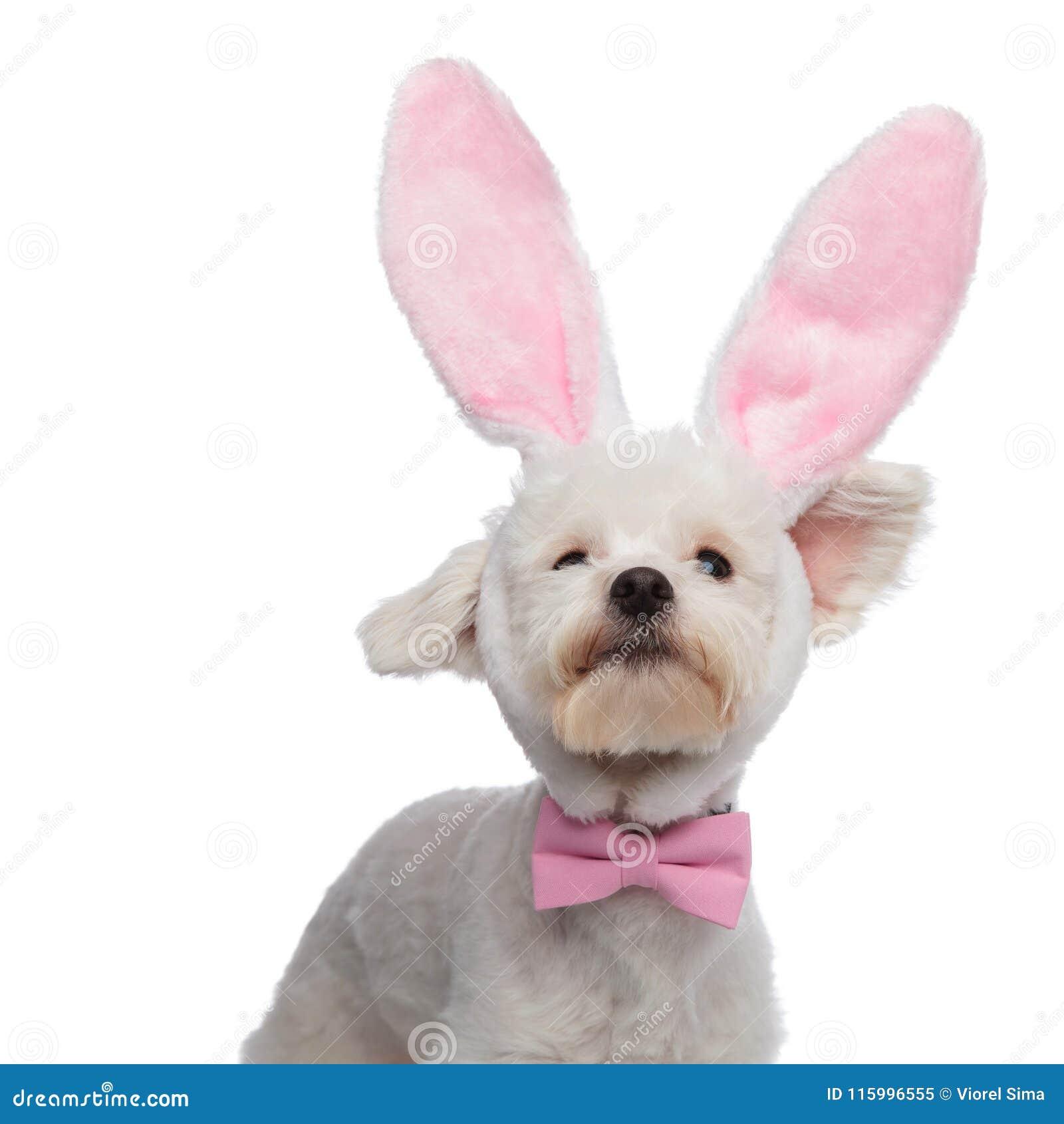Nyfiken flott bichon med kaninen gå i ax att se upp