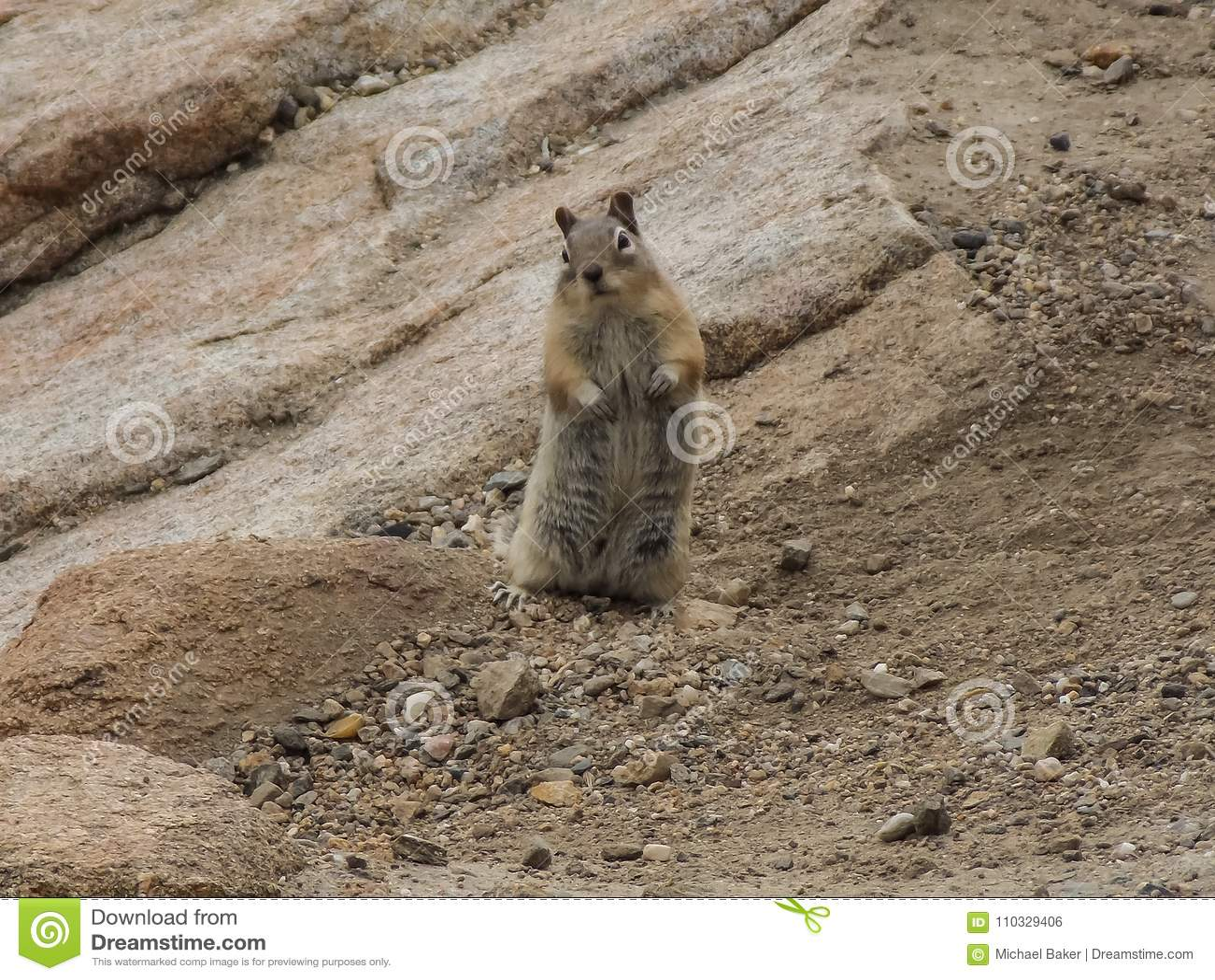 Nyfiken jordekorre i Rocky Mountain National Park