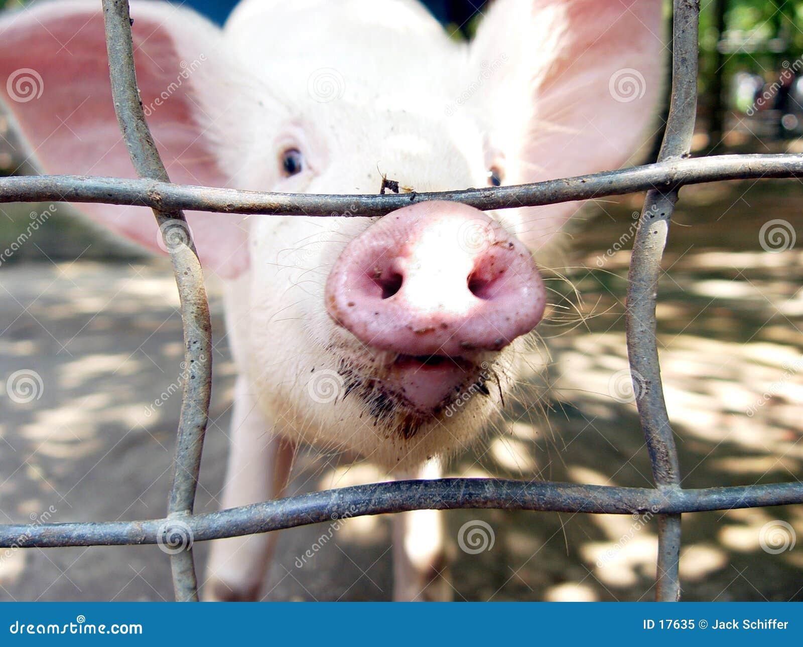 Nyfiken pig