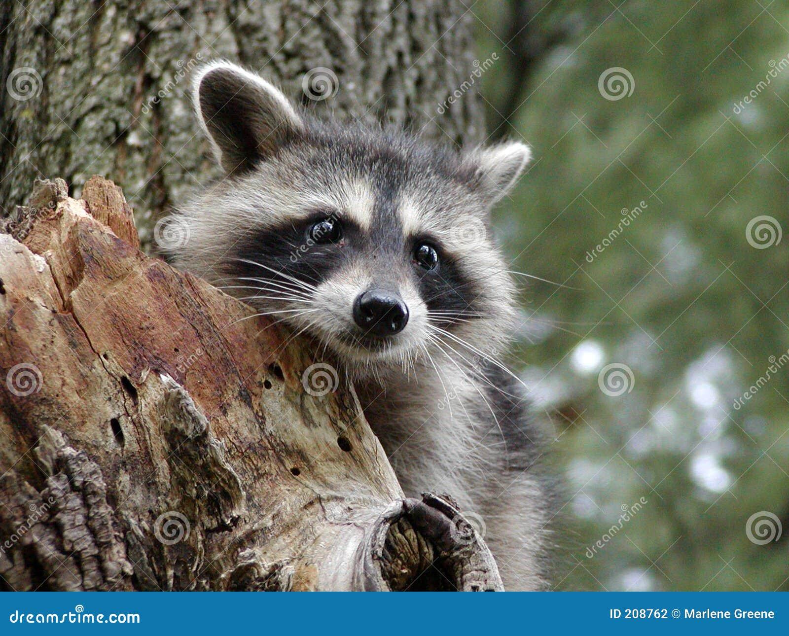 Nyfiken raccoon