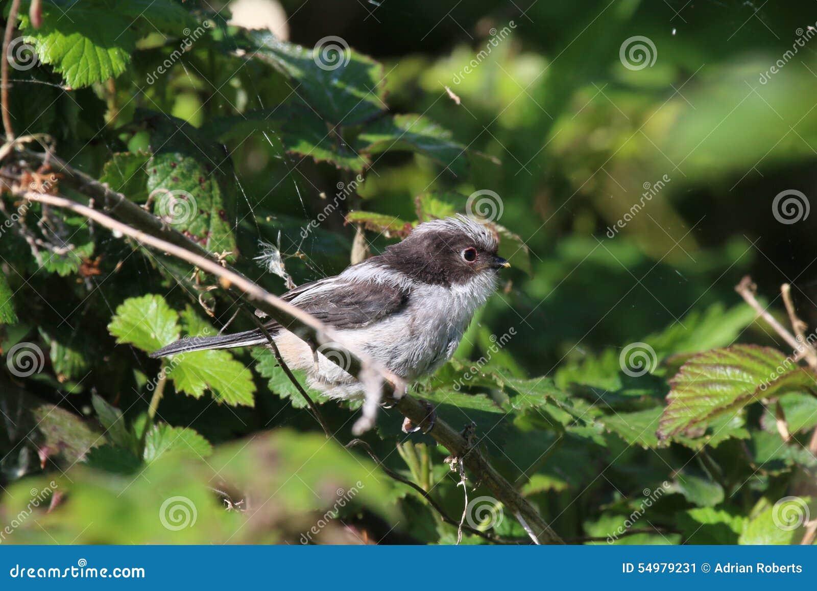 Nyligen bliven flygfärdig Lång-Tailed mes (den Aegithalos caudatusen)