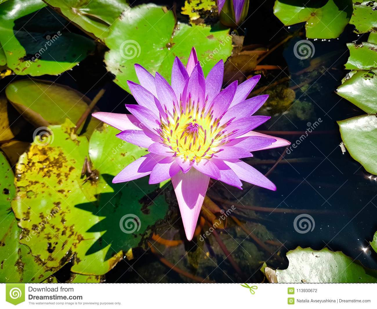 Nymphaea capensis the most beautiful flower of the world stock nymphaea capensis the most beautiful flower of the world izmirmasajfo