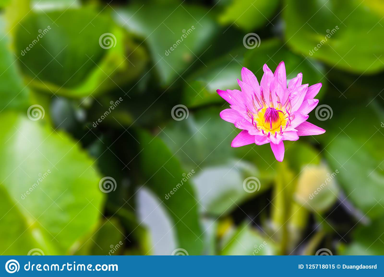 Nymphaea stellata Wild or water lily or lotus is aquatic plant a
