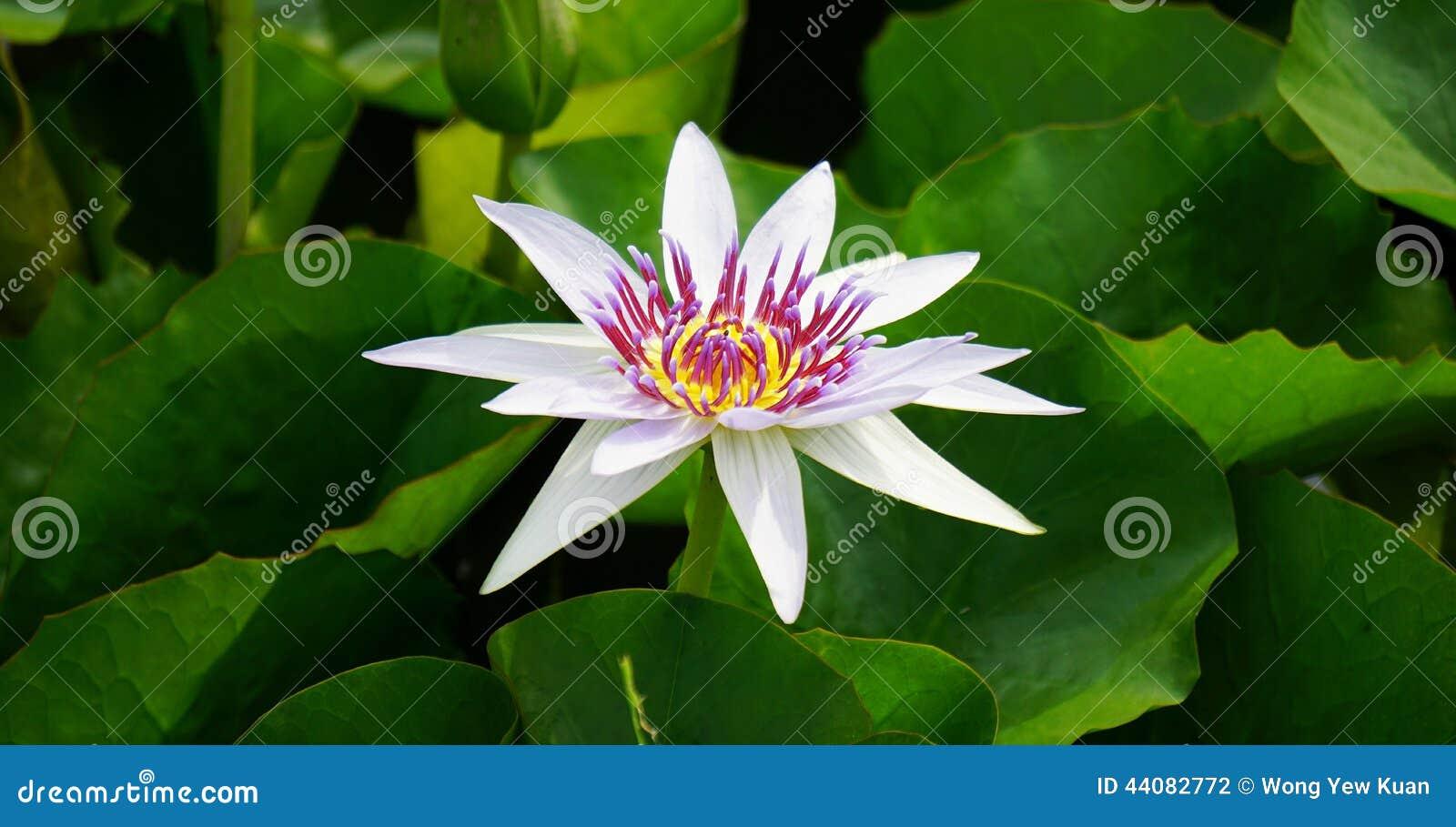 Nymphaea white lotus stock photo image of violet lotus 44082772 nymphaea white lotus mightylinksfo