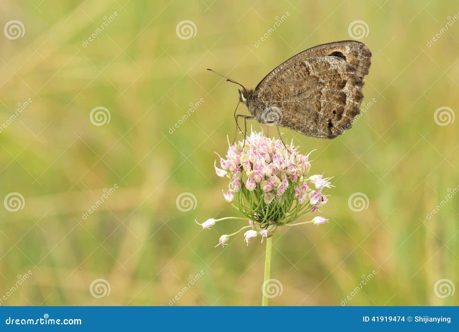 Nymphalidaefjäril