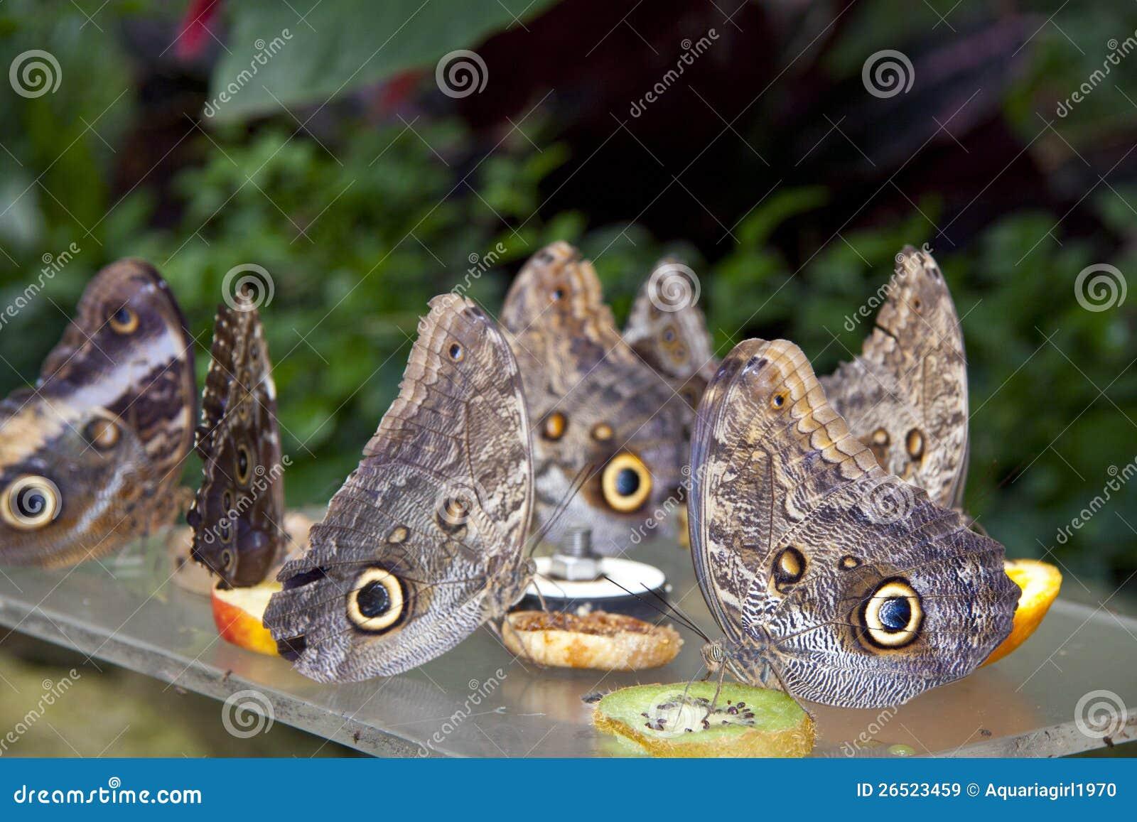 Nymphalidaes do grupo