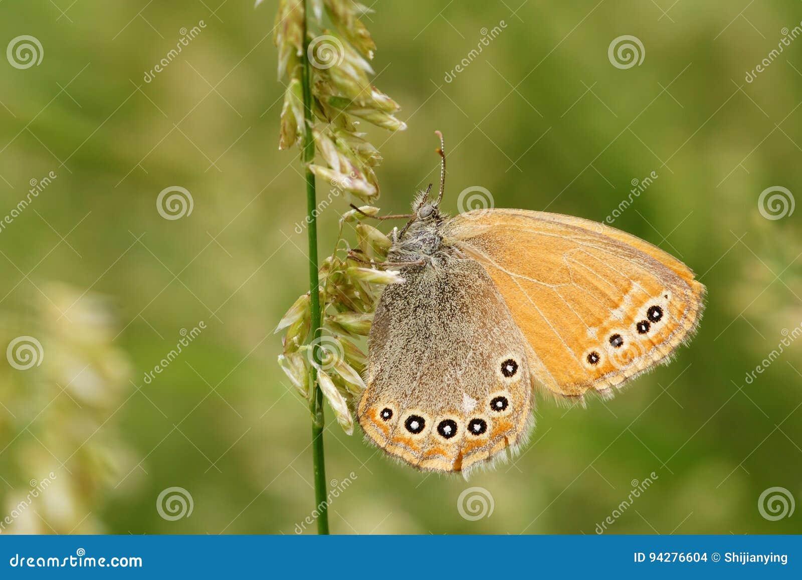 Nymphalidaevlinder