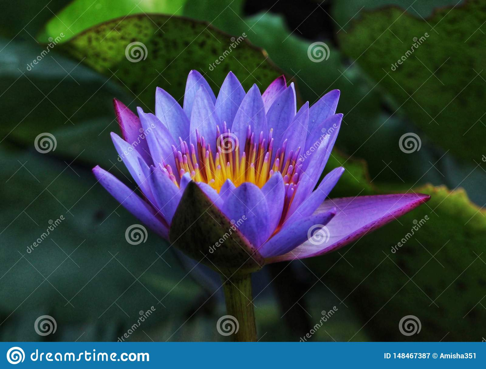 Nymphea stellata & x28;蓝色/紫色lotus& x29;