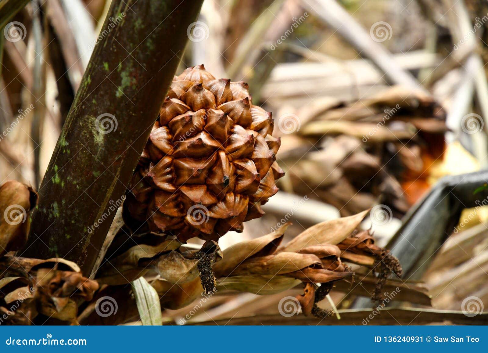 Nypah-Palmenblume und -früchte
