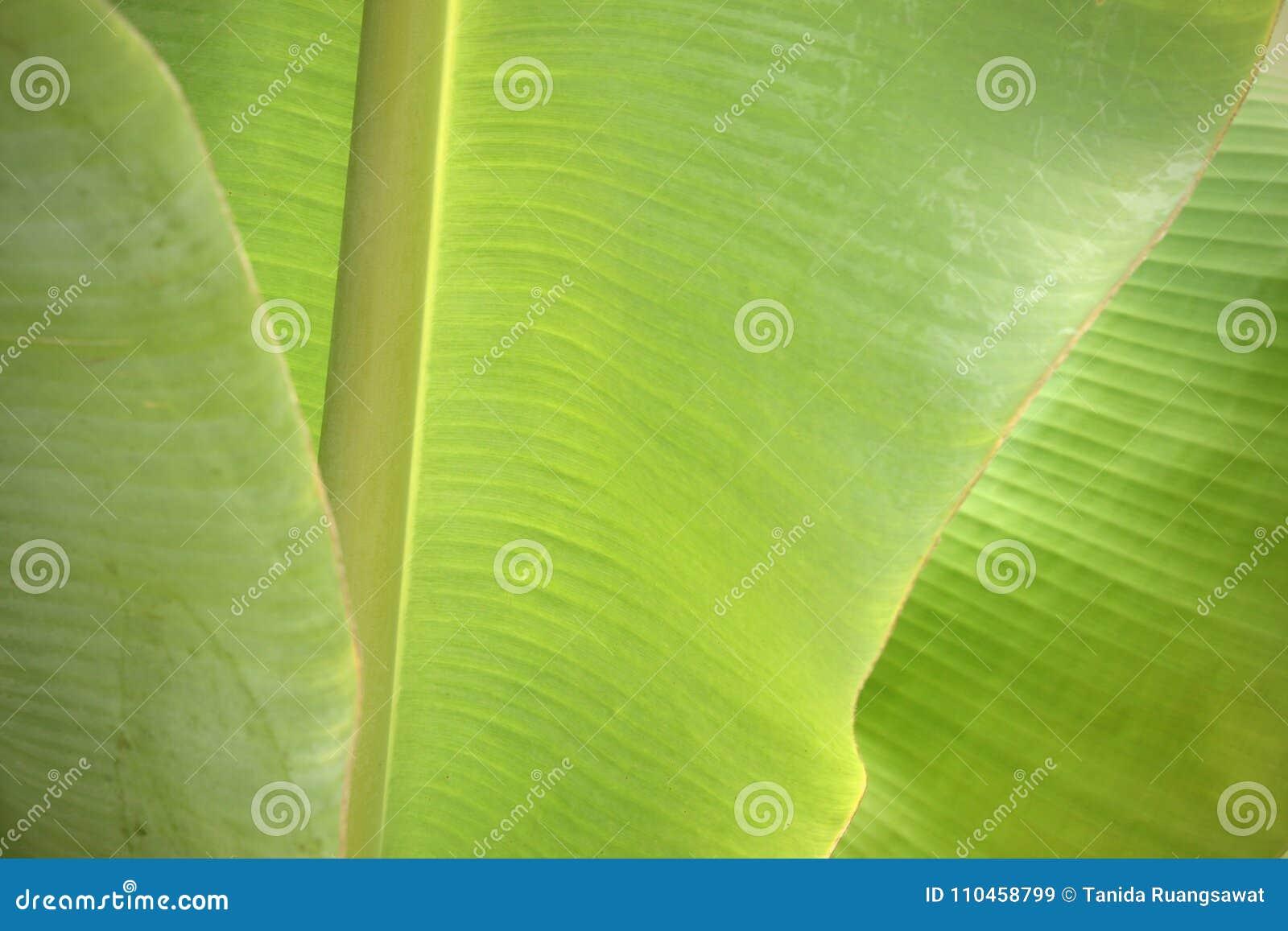 Nytt grönt bananblad för Closeup