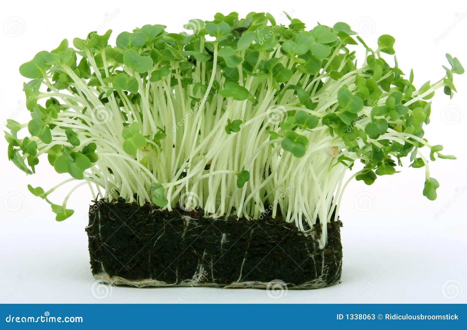 Nytt grönt sunt för cress