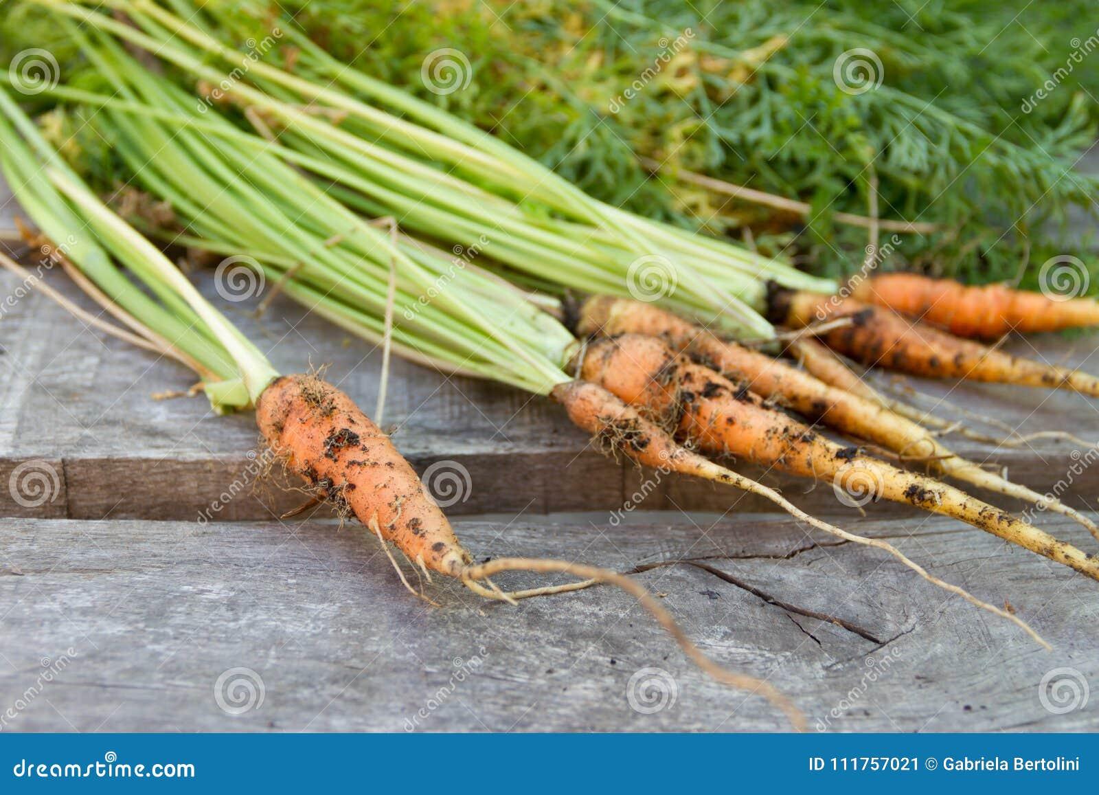 Nytt skördade morötter från den organiska trädgården