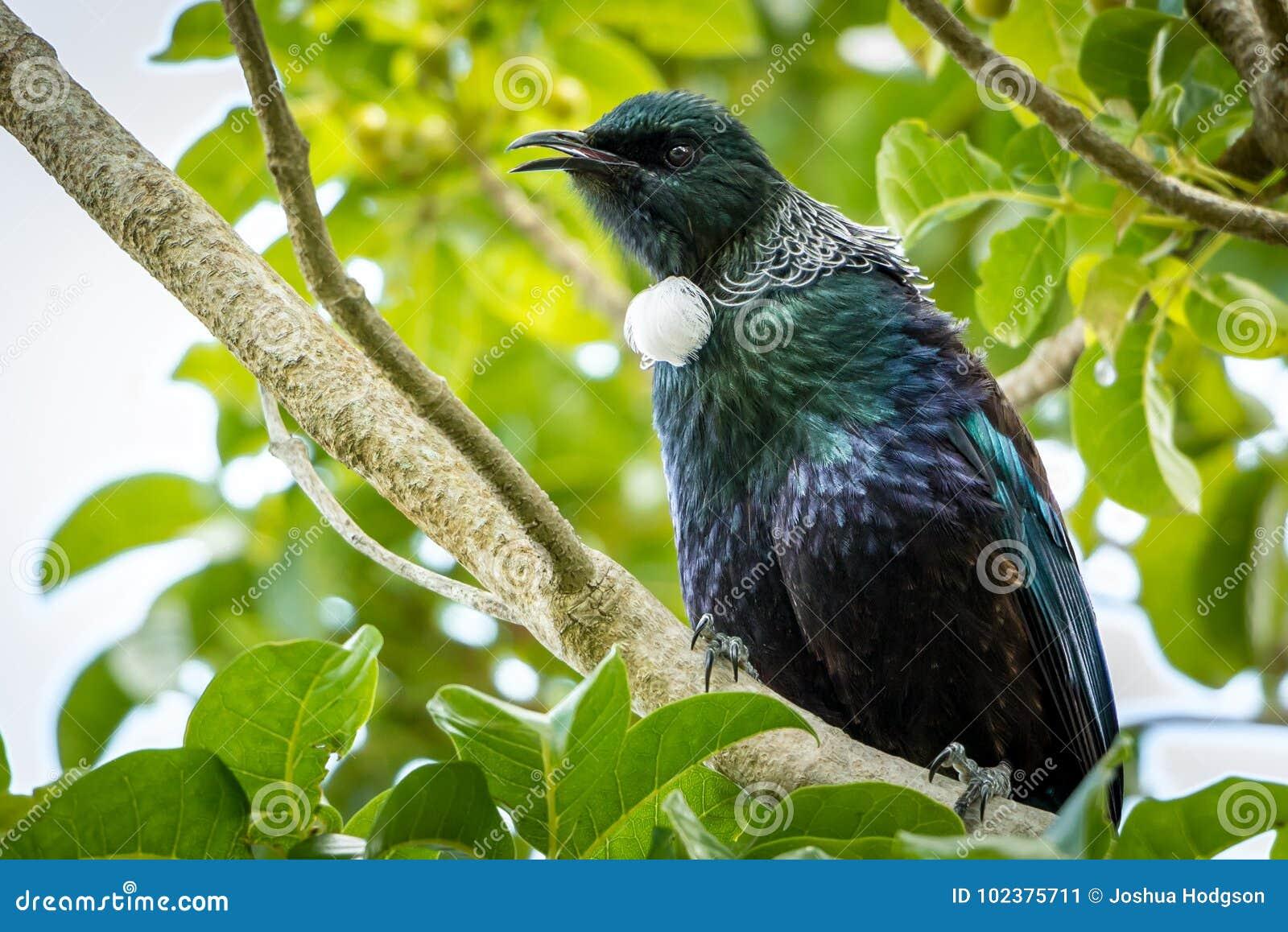 NZ Tui, εγγενές πουλί