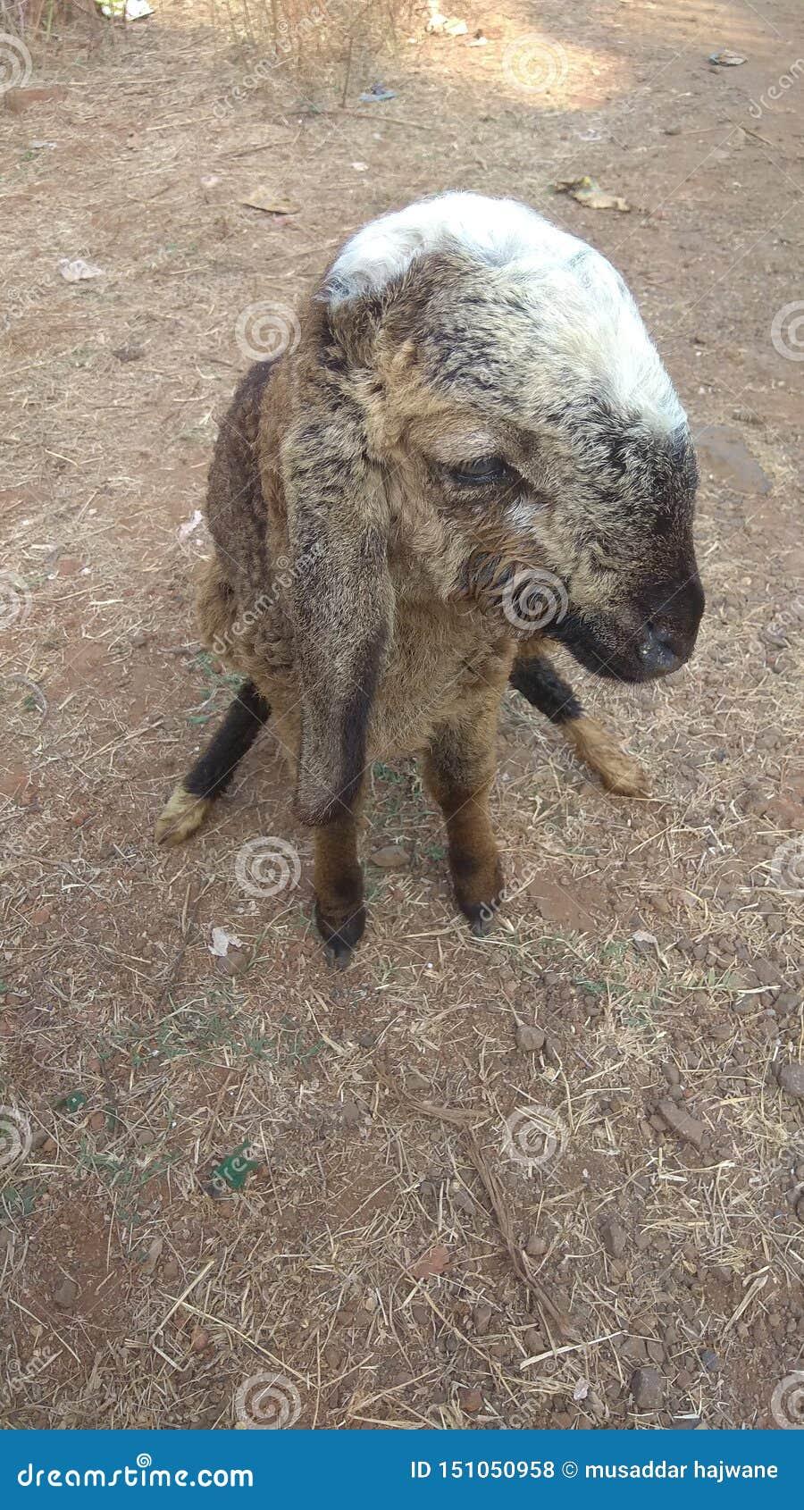 Oído largo hermoso de las pequeñas ovejas