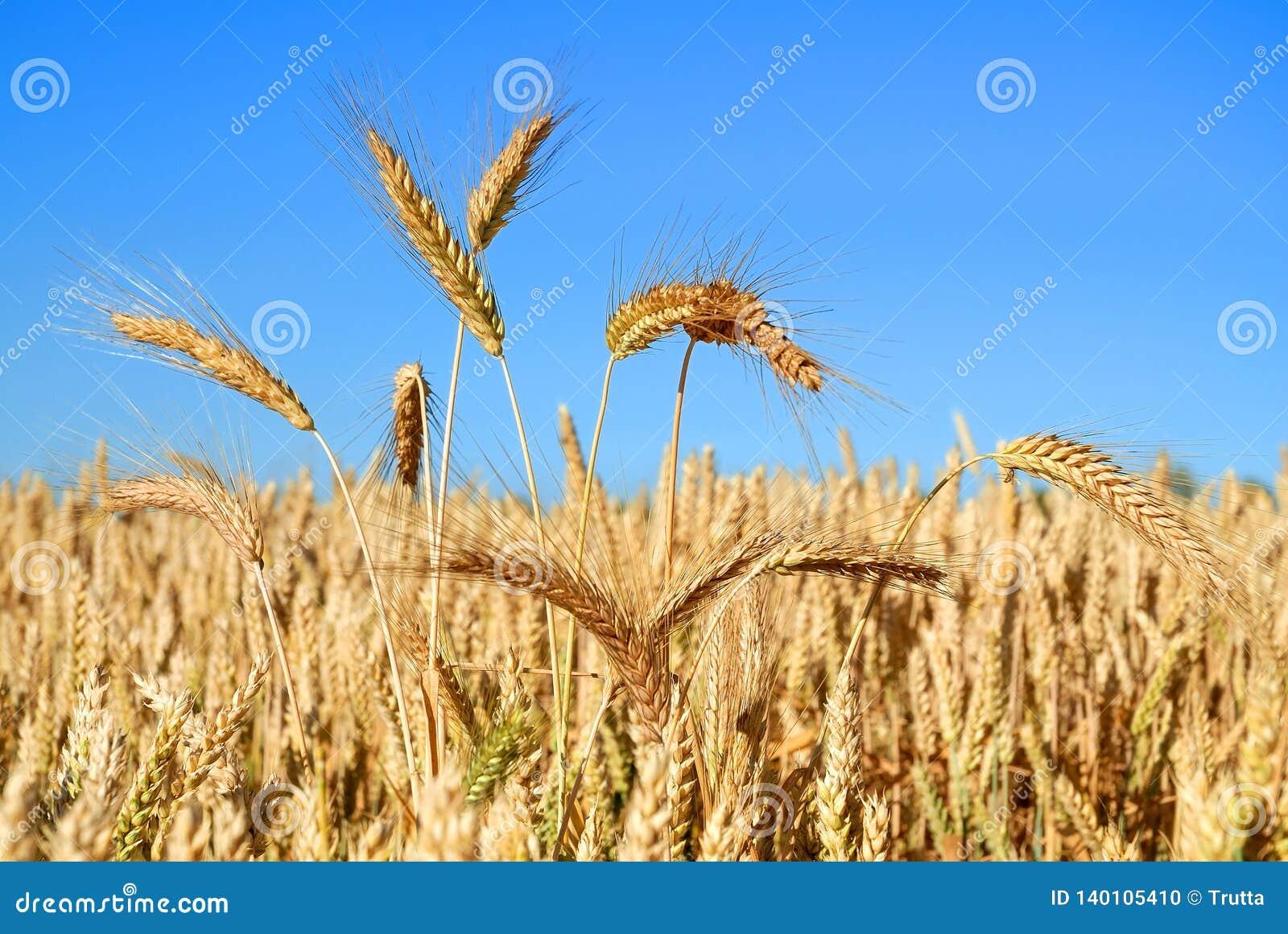Oídos del maíz maduro
