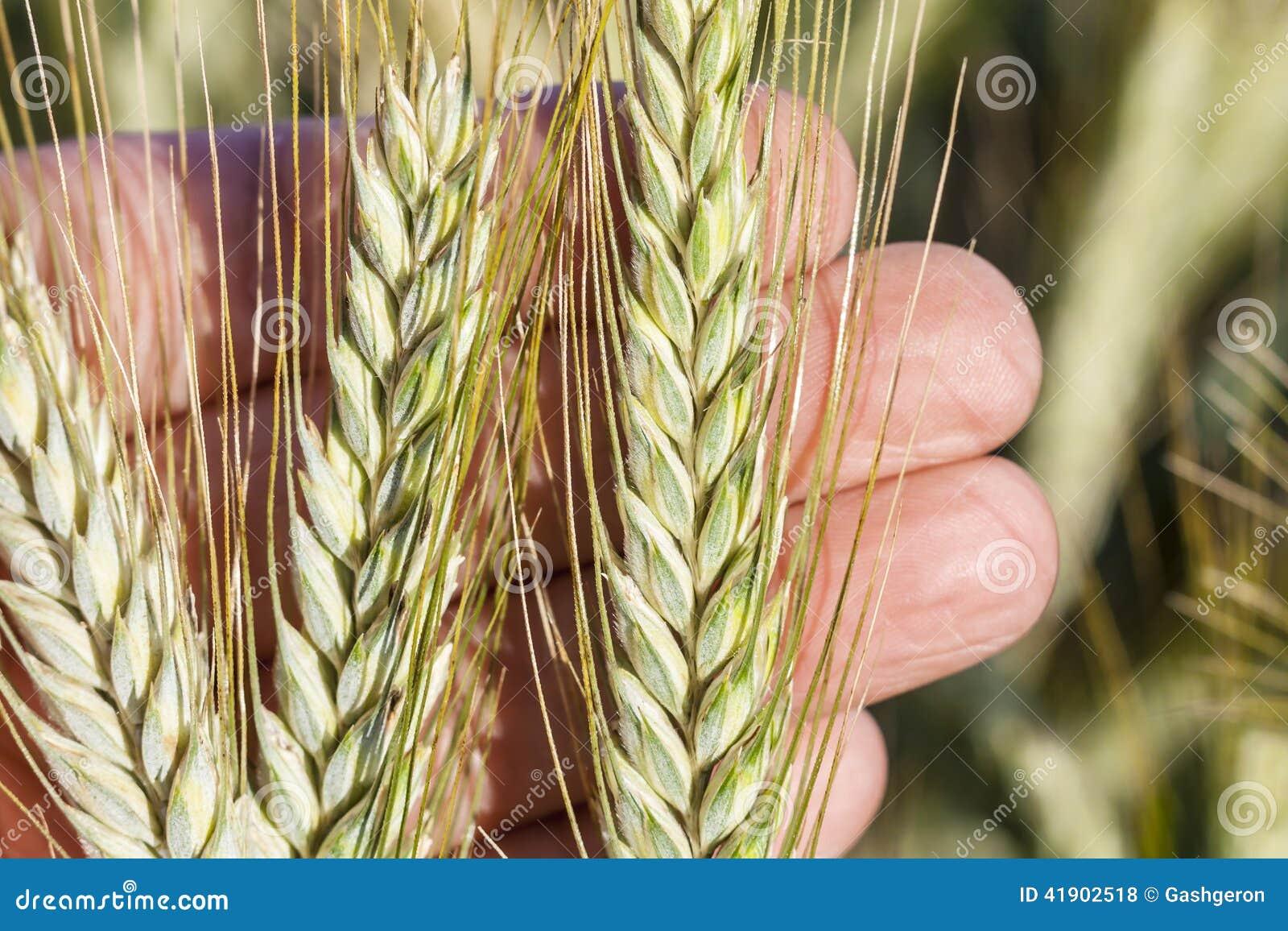 Oídos del trigo a disposición