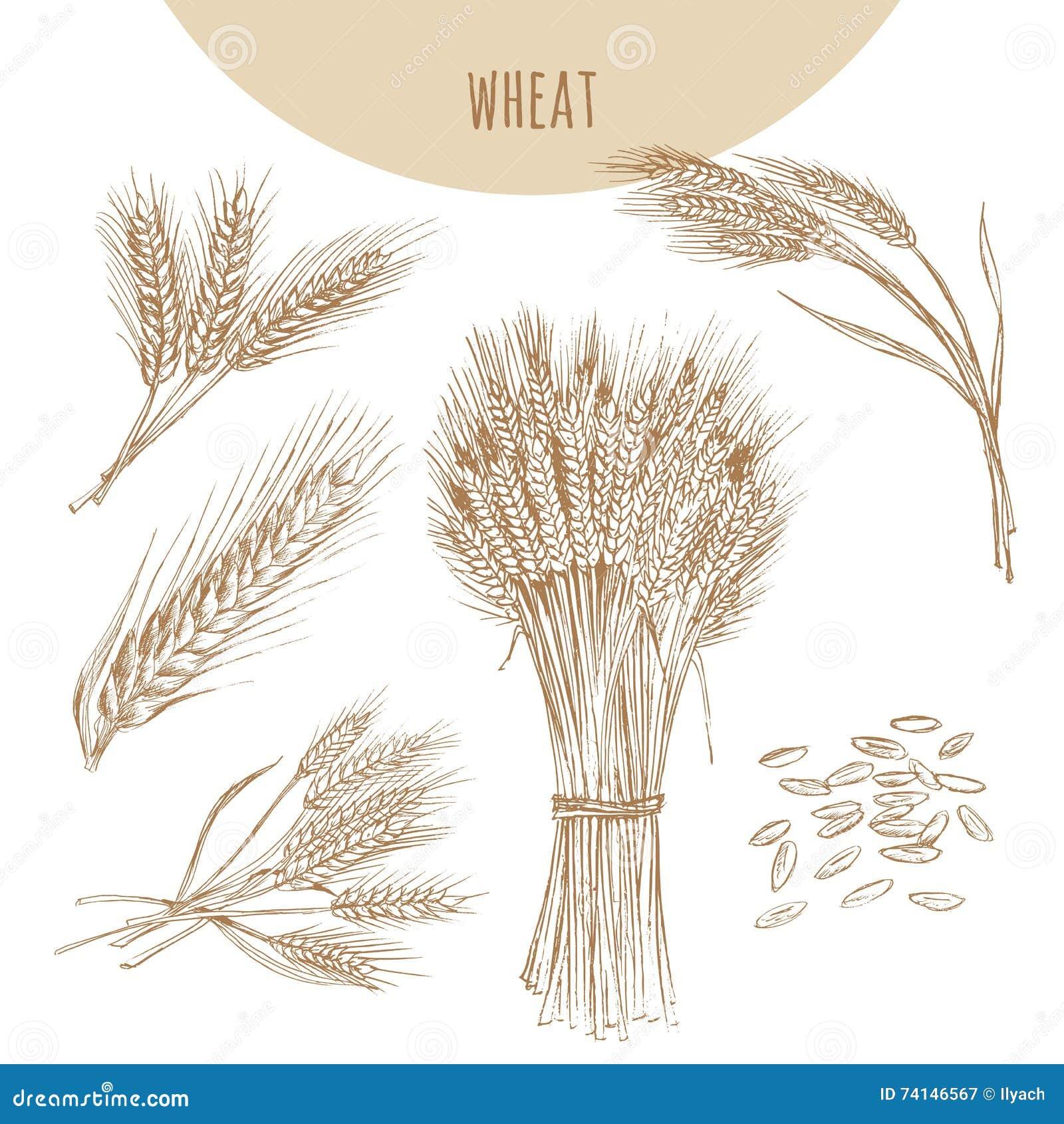 Oídos, gavilla y granos del trigo Dibujo dibujado mano del bosquejo de los cereales