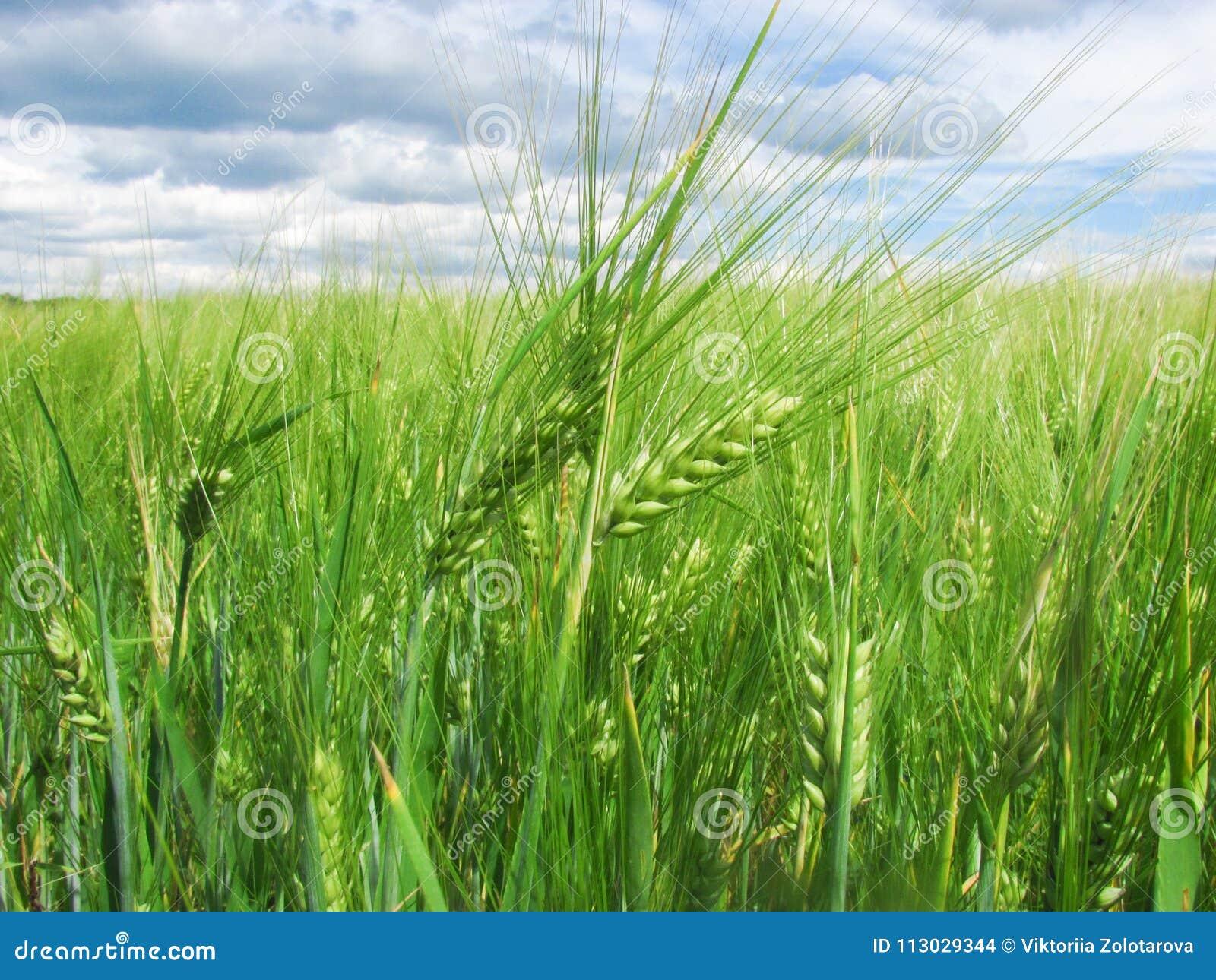 Oídos verdes del trigo en el campo y un cielo azul con las nubes