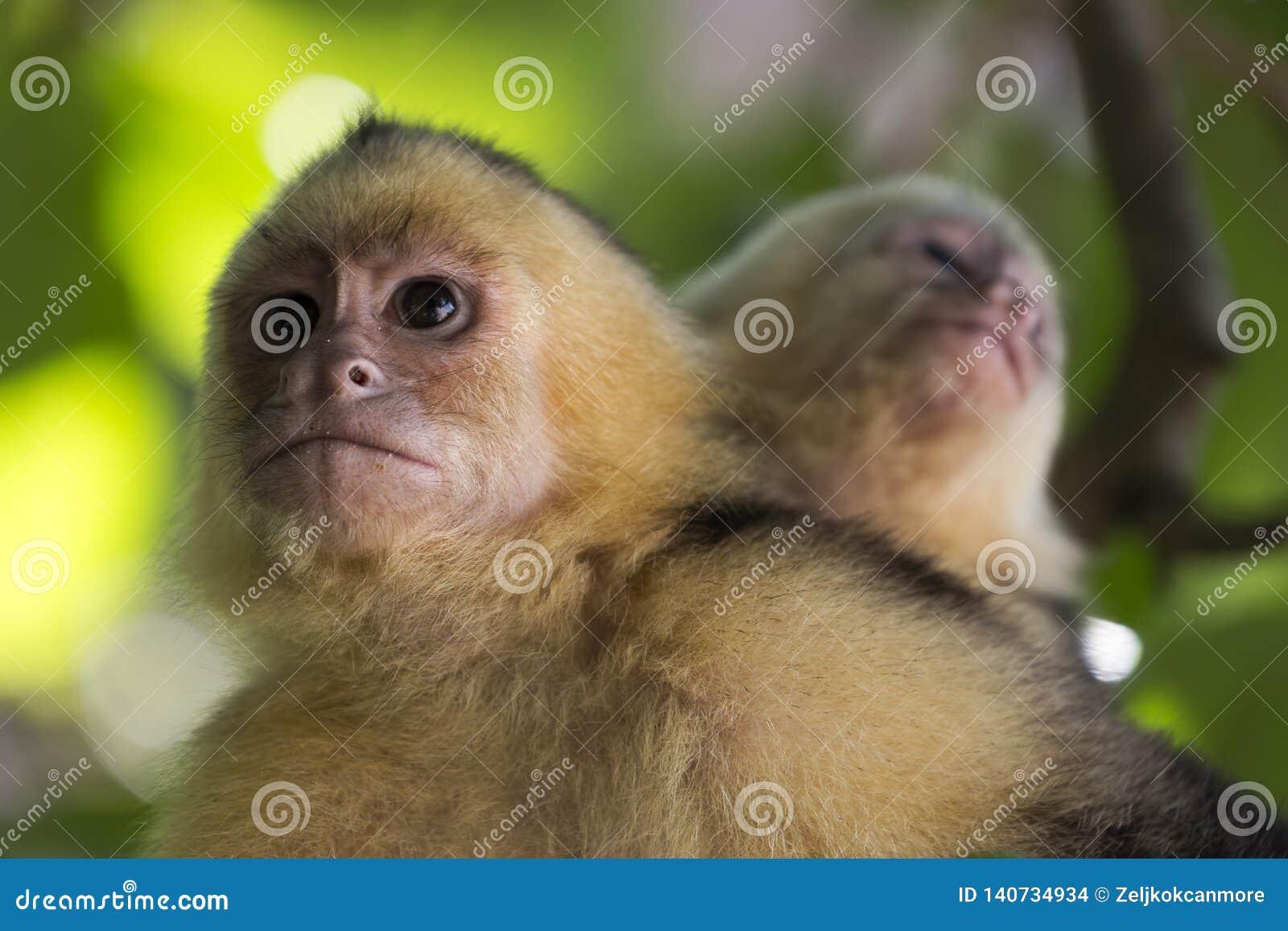 Обезьяна Манюэль Antonio Коста-Рика Capuchin жителя Панамы белая возглавленная