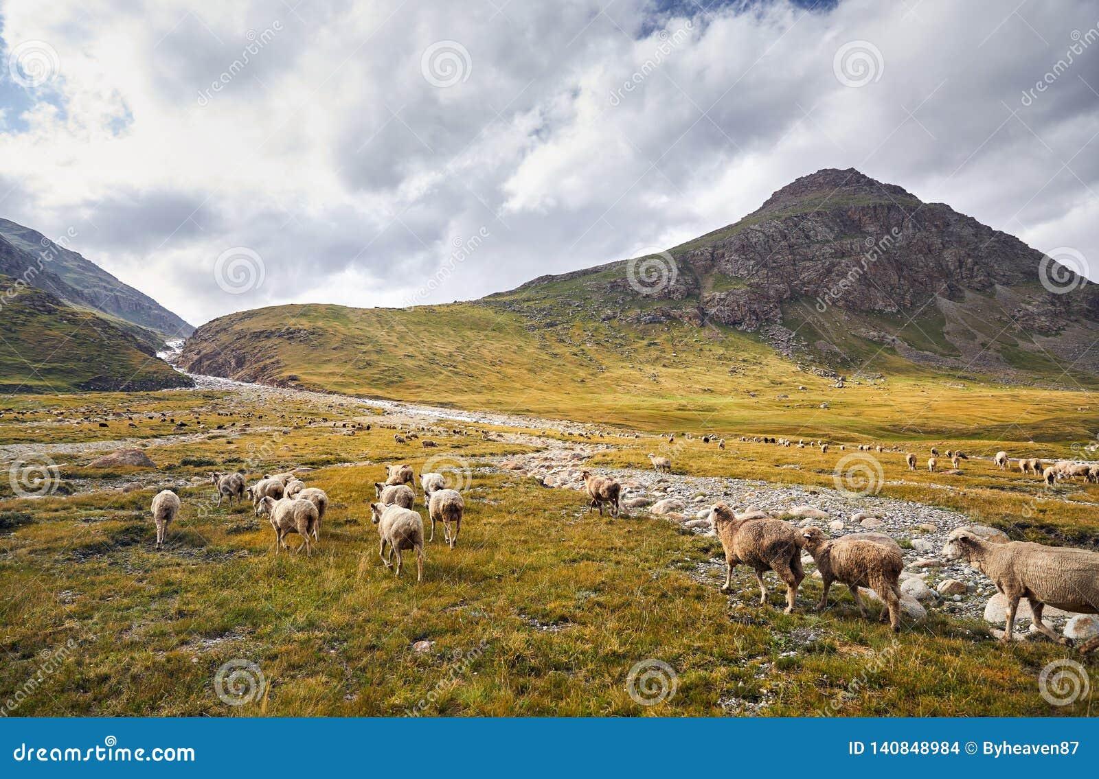 Овцы в долине горы