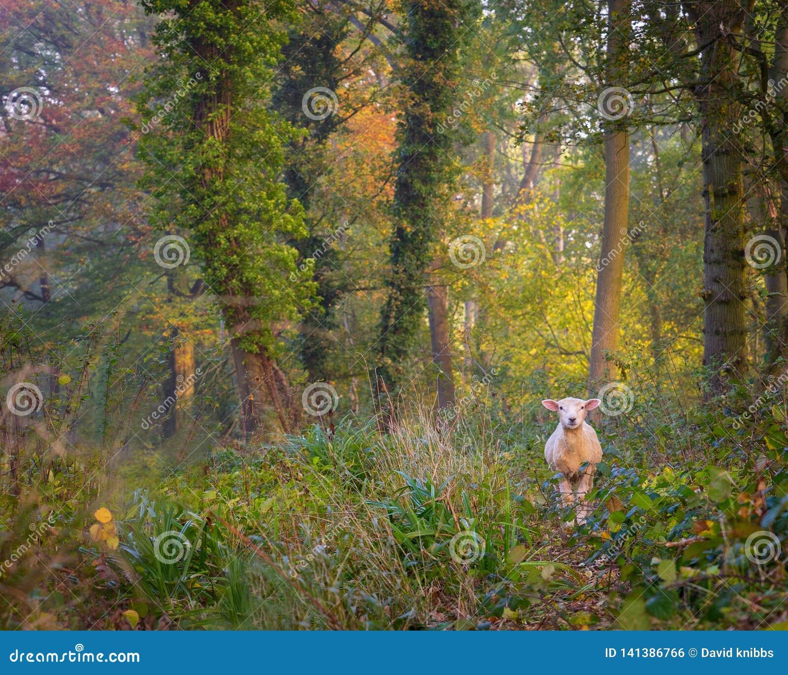 Овцы потеряли в древесинах в Cotswolds