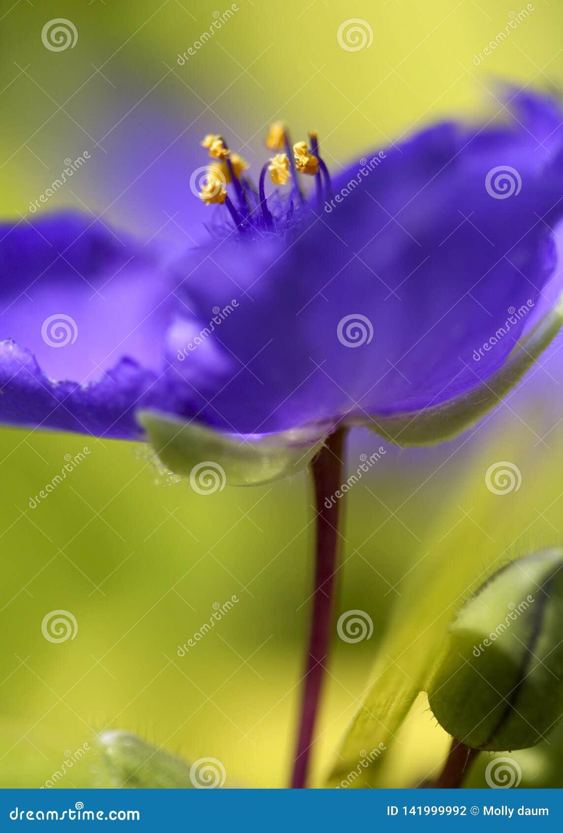 Оглушать пурпурный голубой гераниум cranesbill с травянистой зеленоватой желтой предпосылкой и