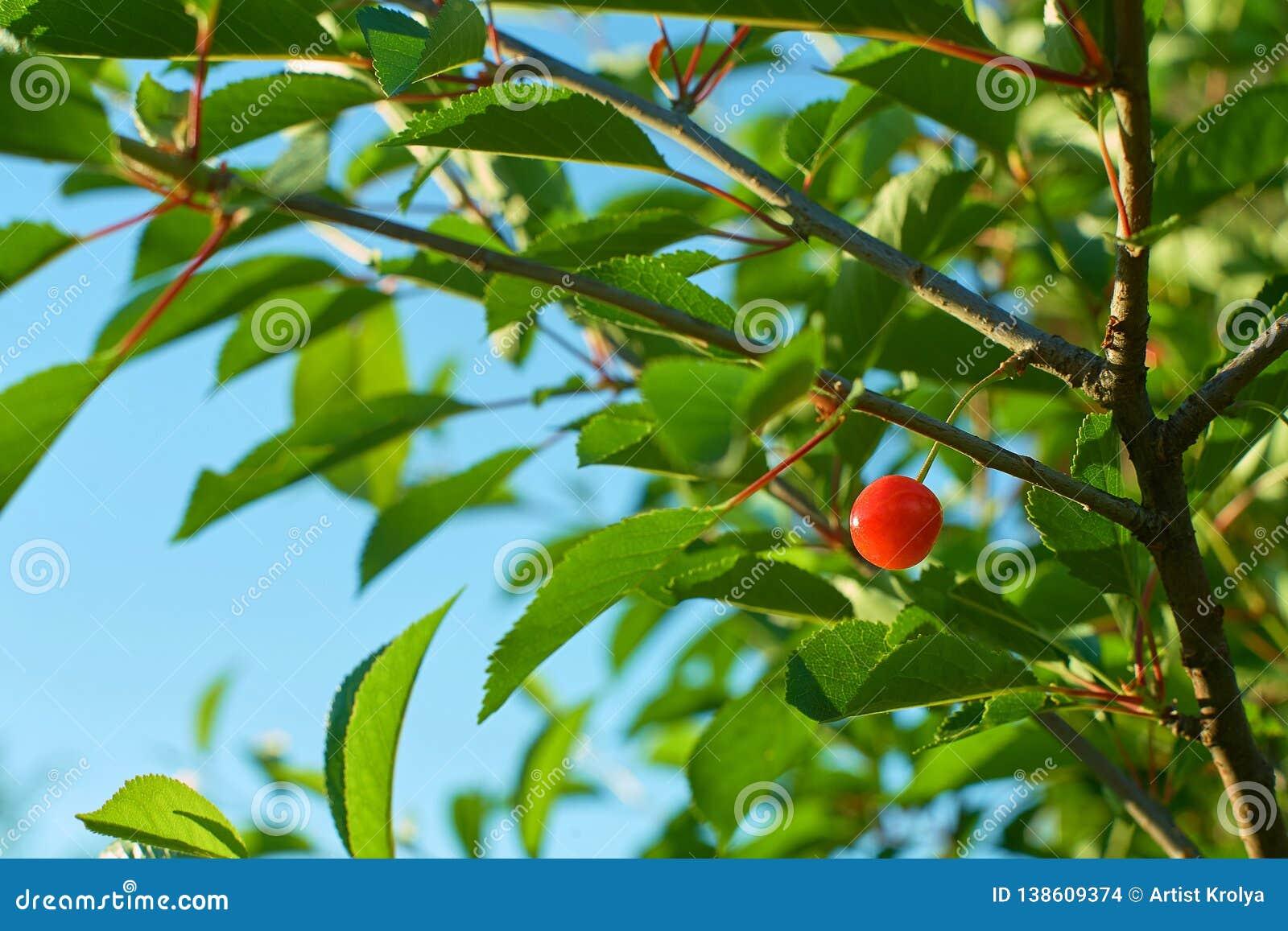 Одиночный зрелый плод вишни вися на ветви
