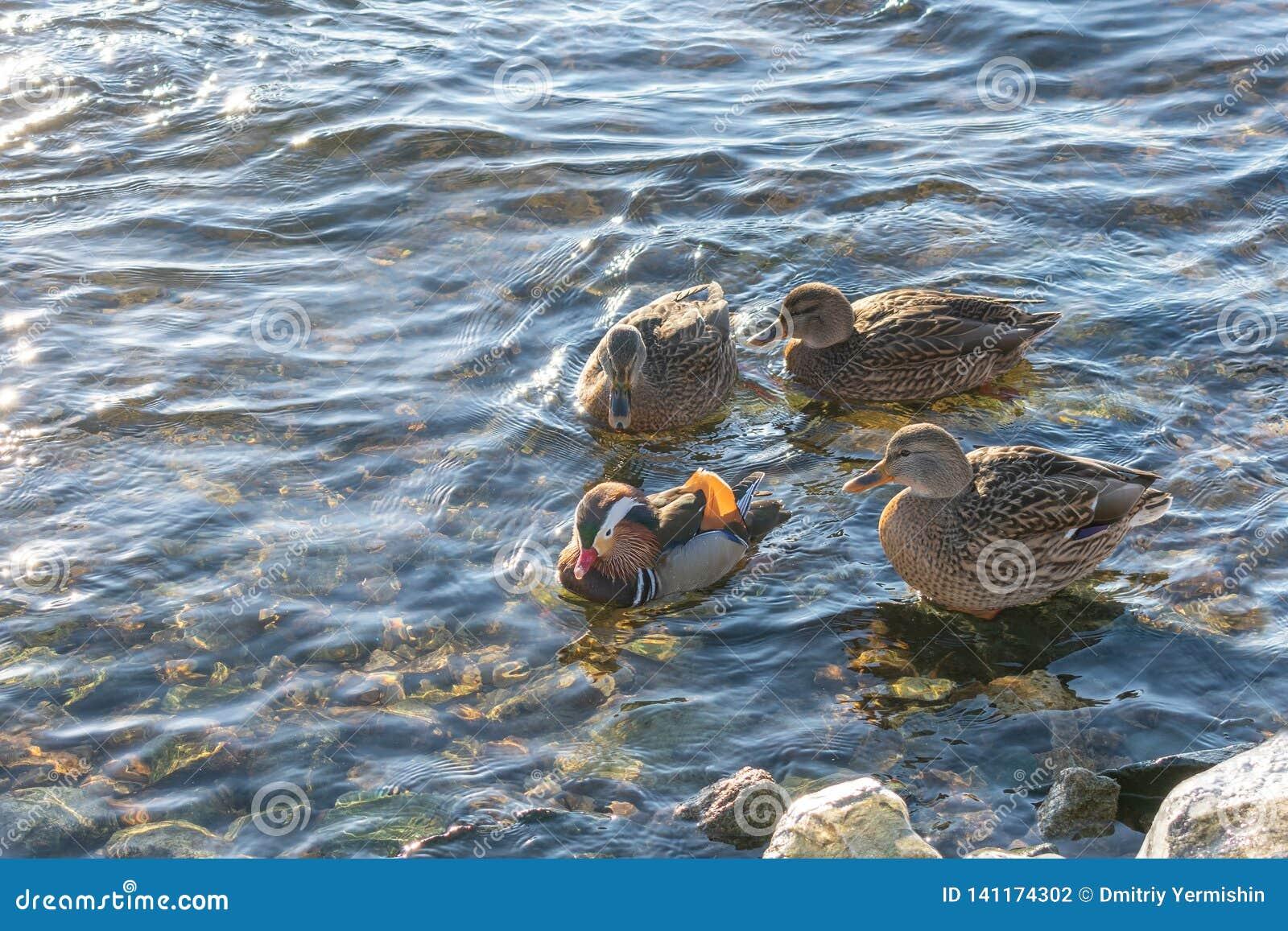 Одна утка мандарина и 3 простых утки рядом В воде