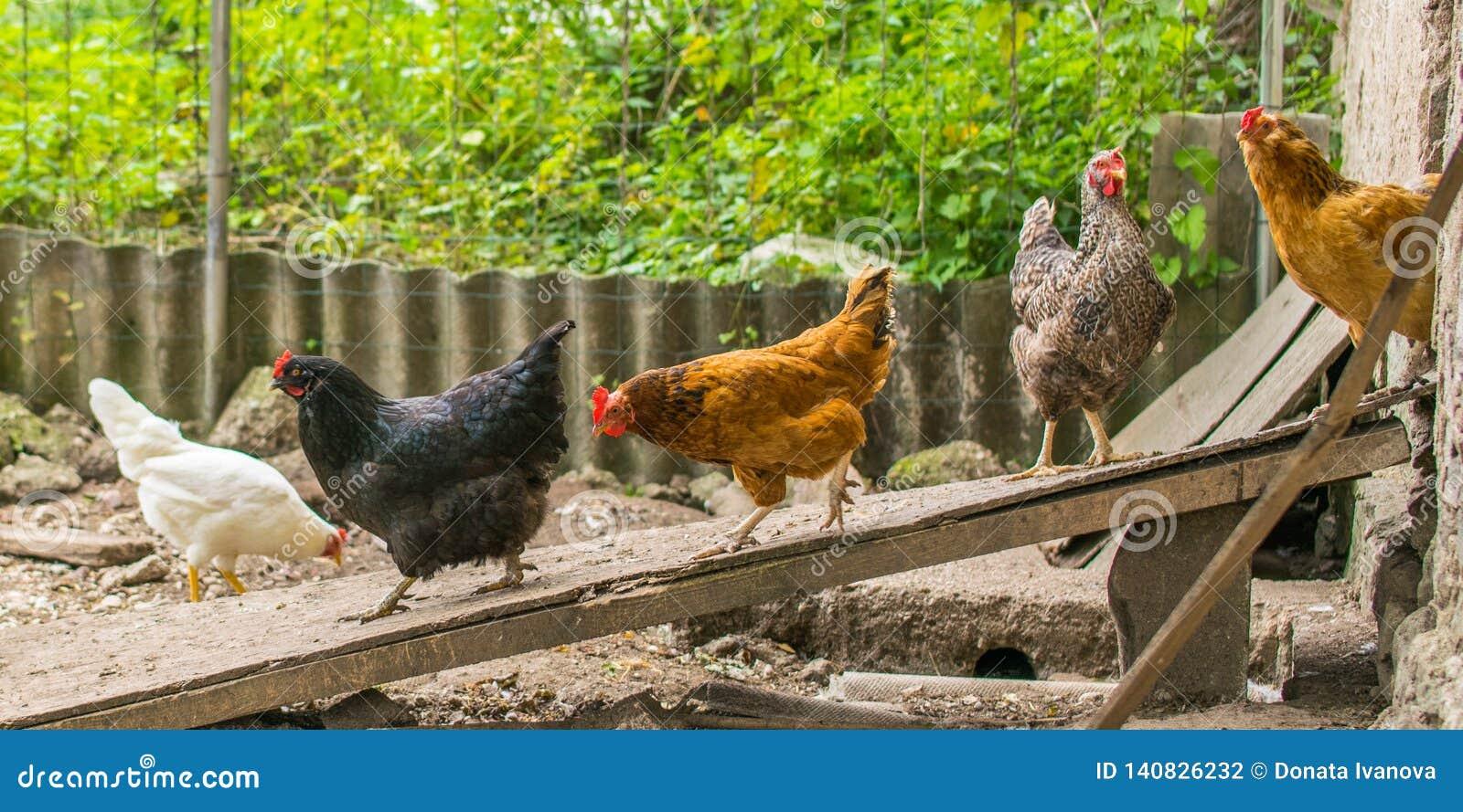 Отечественные цыплята идя в задворк Птица приходя из
