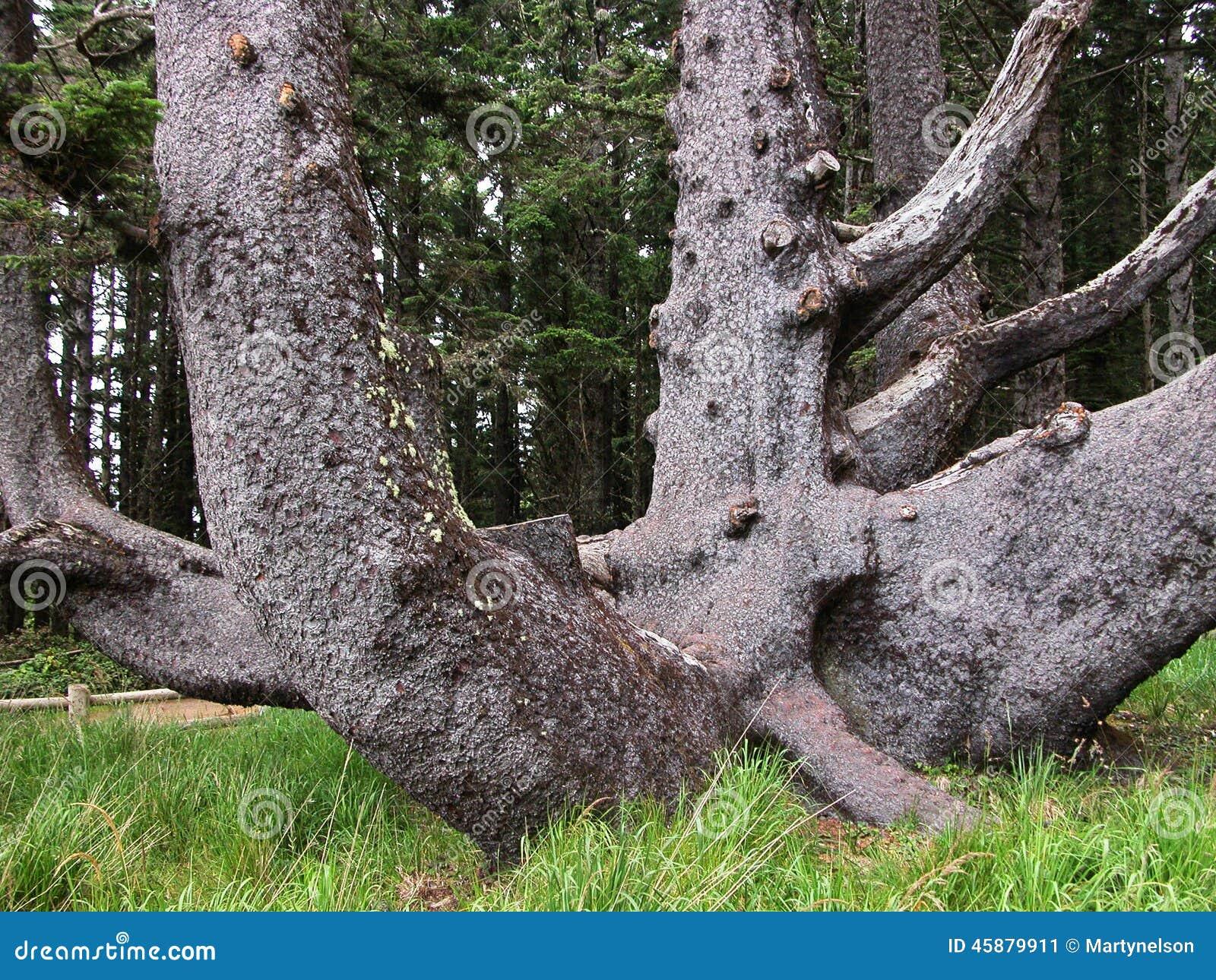 Ośmiornicy drzewo