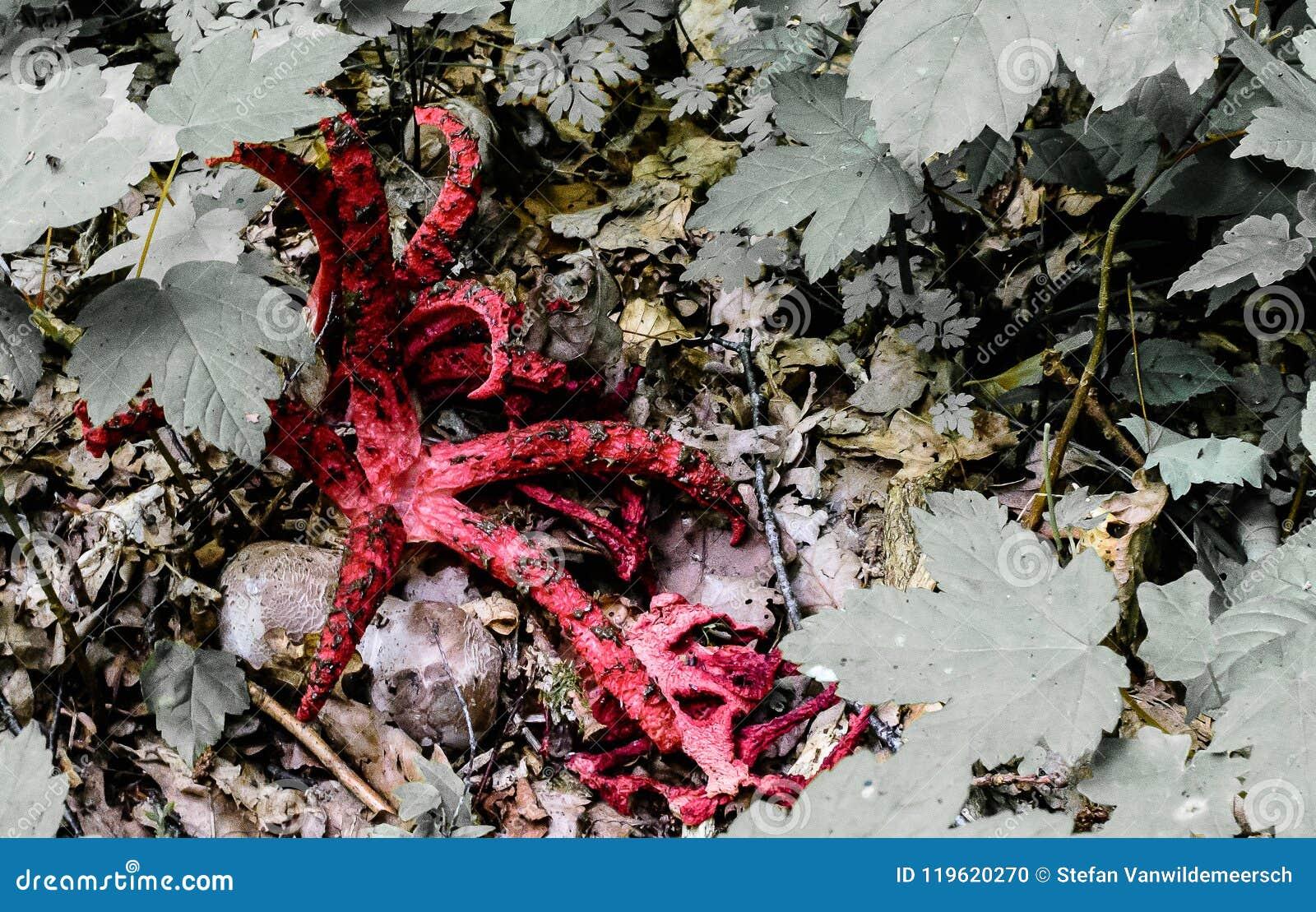Ośmiornicy stinkhorn - czerwone nikłe ręki