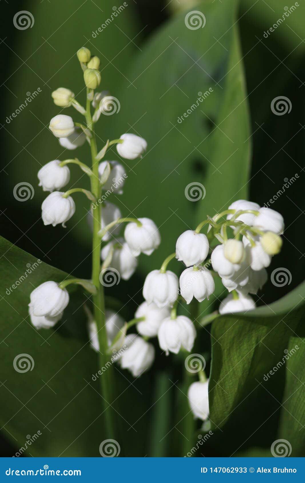 O κρίνος λουλουδιών της κοιλάδας κρίνοι άνθισης της κοιλάδας άσπρα λουλούδια σε ένα πράσινο υπόβαθρο κουδούνι