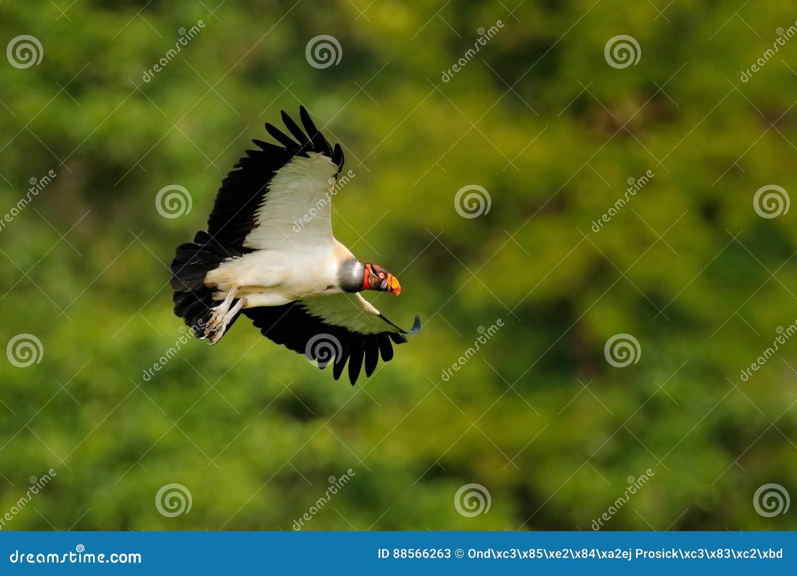 O abutre de rei, papá de Sarcoramphus, grande pássaro encontrou em central e em Ámérica do Sul Abutre de rei na mosca Pássaro de