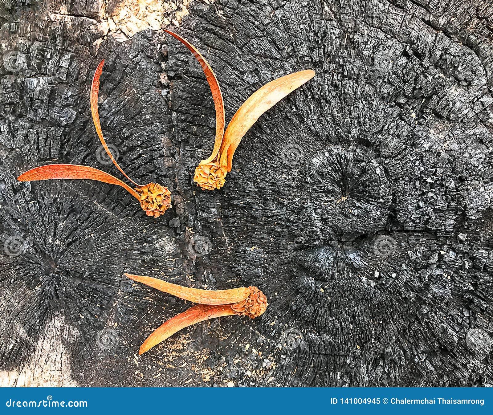 O alatus de Dipterocarpus no coto queimado é preto