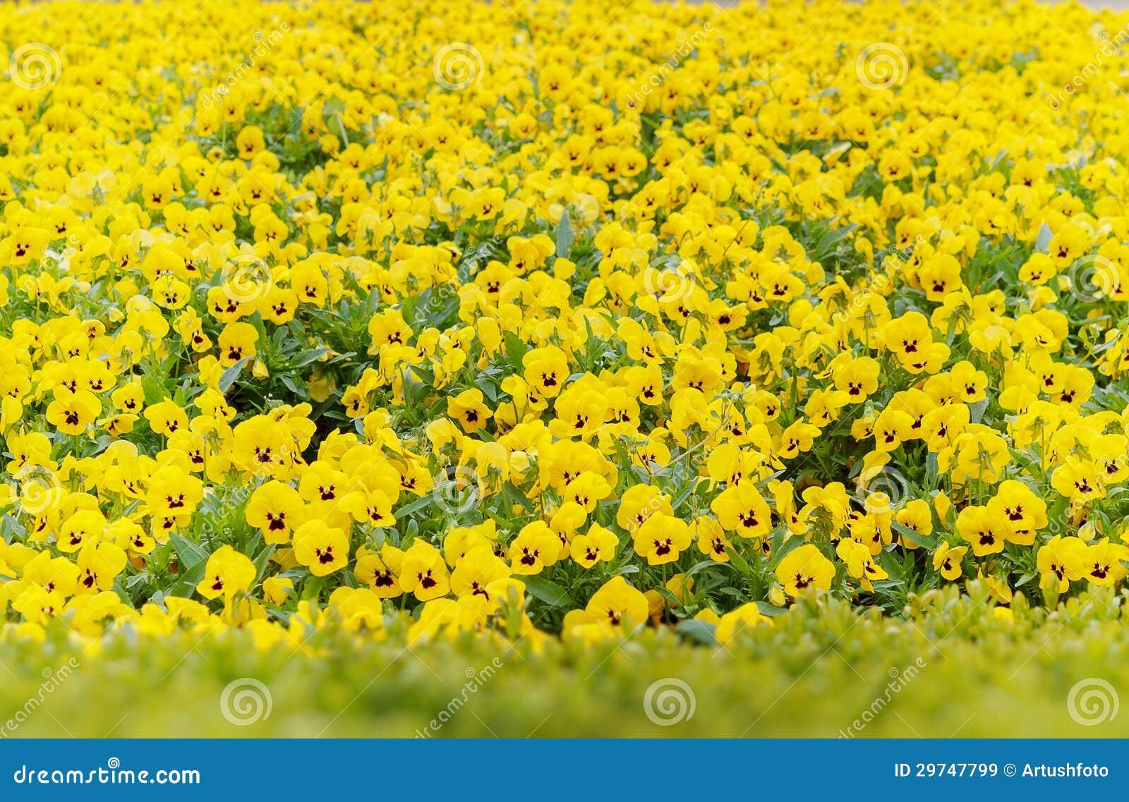 jardim rosas amarelas : jardim rosas amarelas:amor perfeito amarelo floresce na mola no jardim.