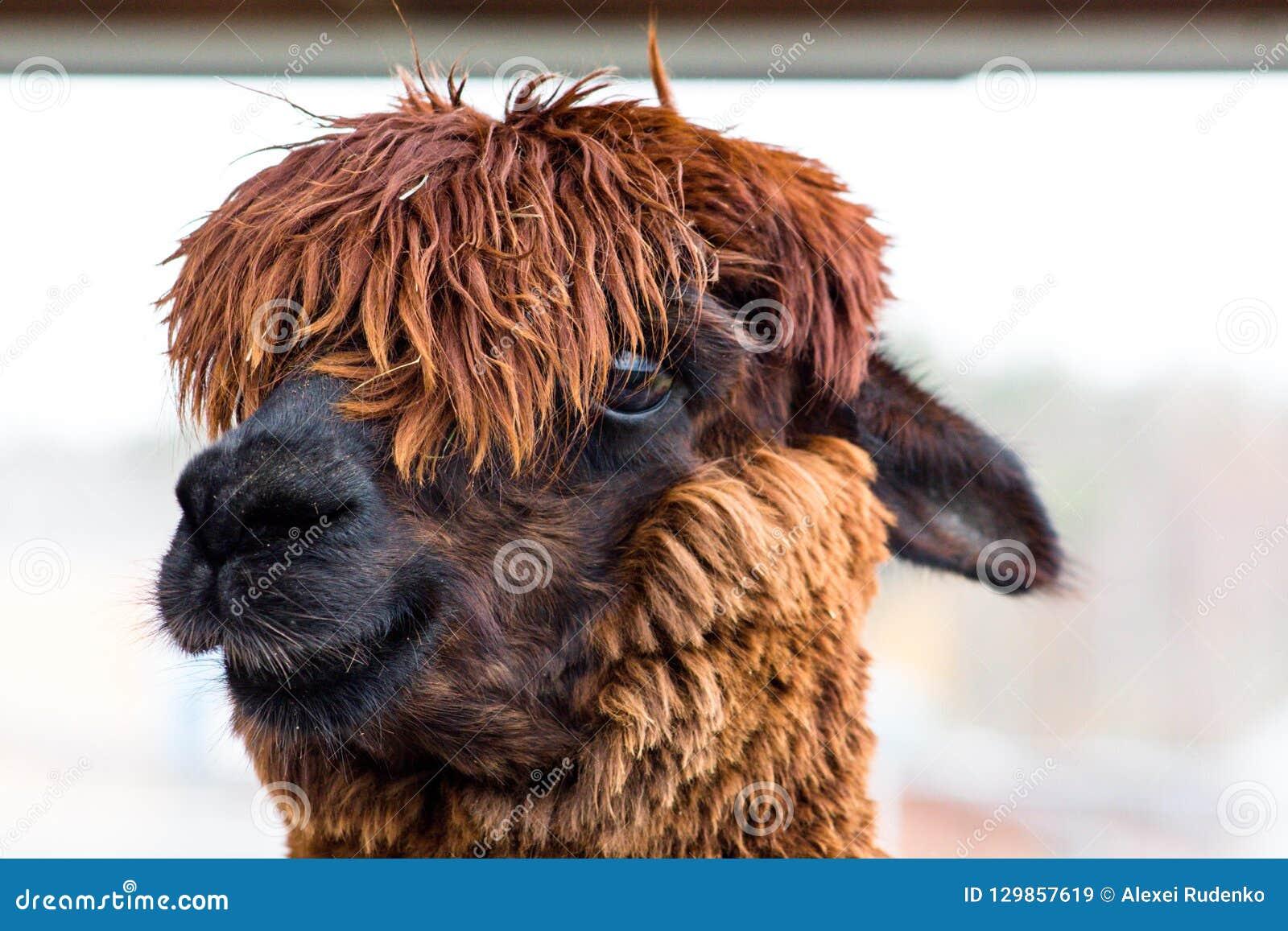 O animal notável e bonito com cabelo grosso chamou Alpaca Seu cabelo em sua cabeça fecha completamente seus olhos