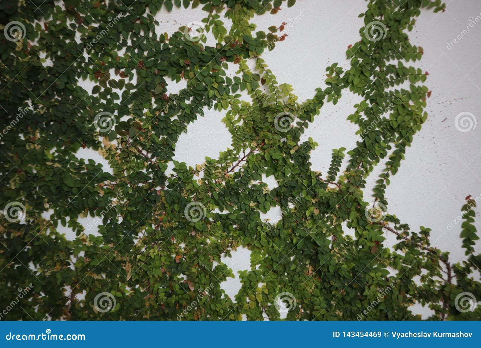 O arbusto verde cresce em um muro de cimento Folhas do verde no fundo do muro de cimento
