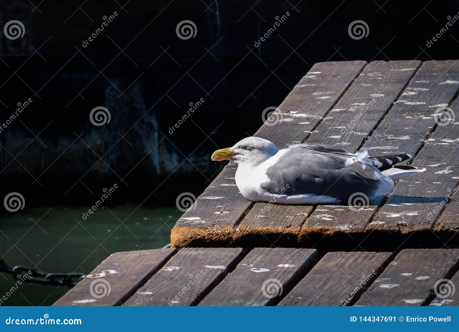 O argentatus do Larus da gaivota de arenques com olhos fechou-se empoleirado em um passeio à beira mar
