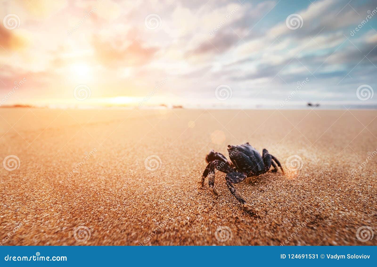 O artrópode engraçado do caranguejo olha no nascer do sol no tempo do amanhecer