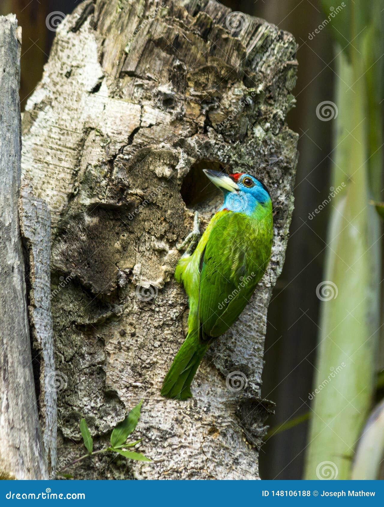 O barbet azul-throated que faz o ninho, Pokhara Nepal