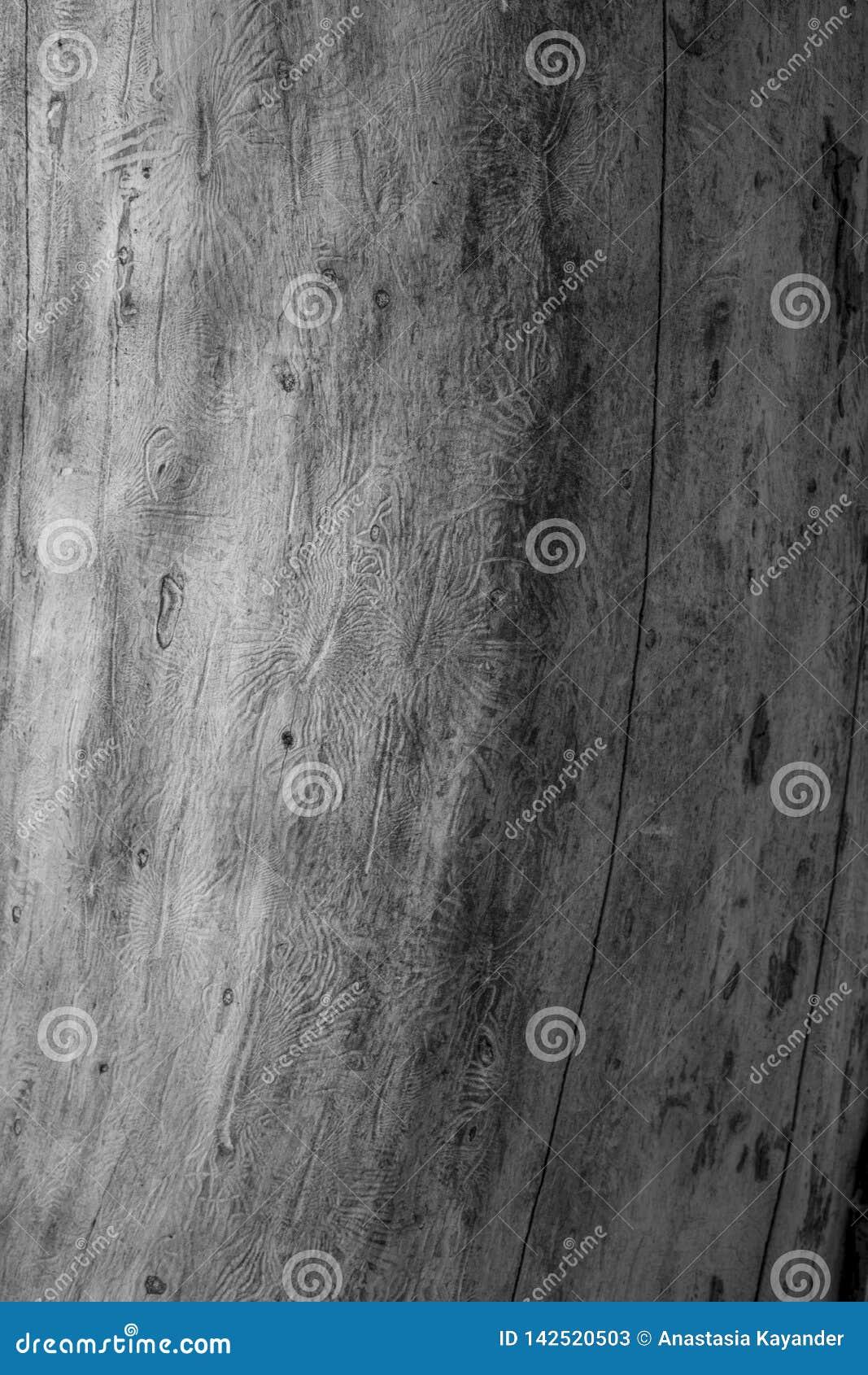 O besouro de casca spruce europeu Traços de uma praga em uma casca de árvore