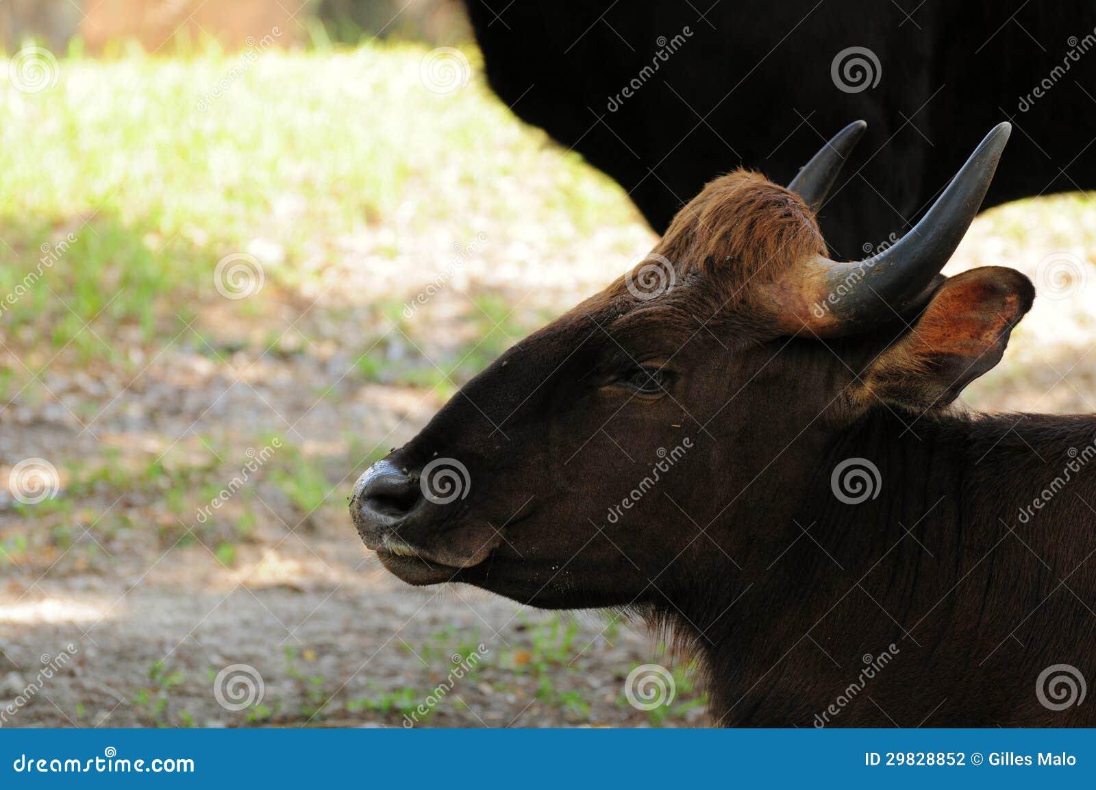 Gaur indiano, bisonte