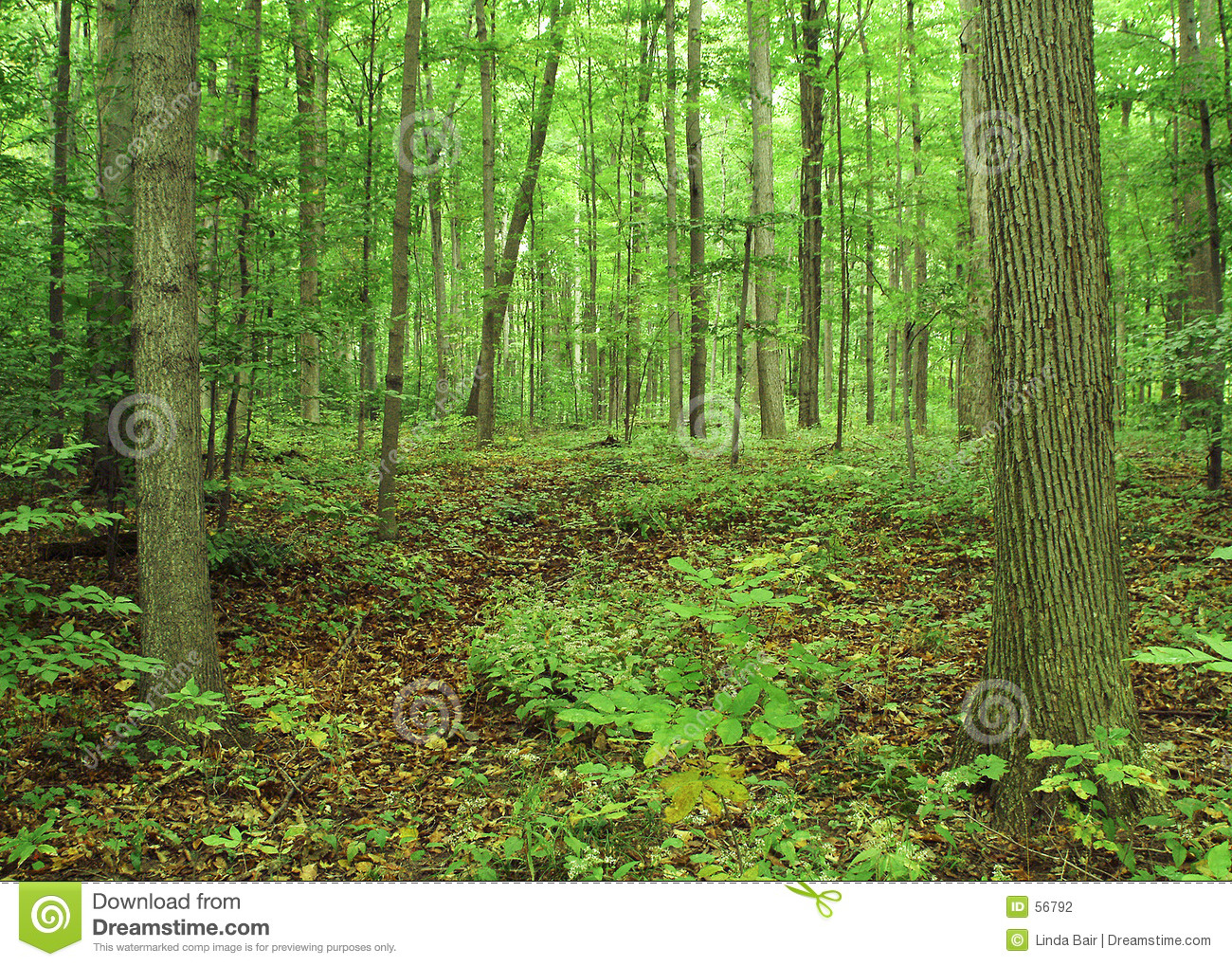 Download O bosque sagrado foto de stock. Imagem de ambiente, verde - 56792